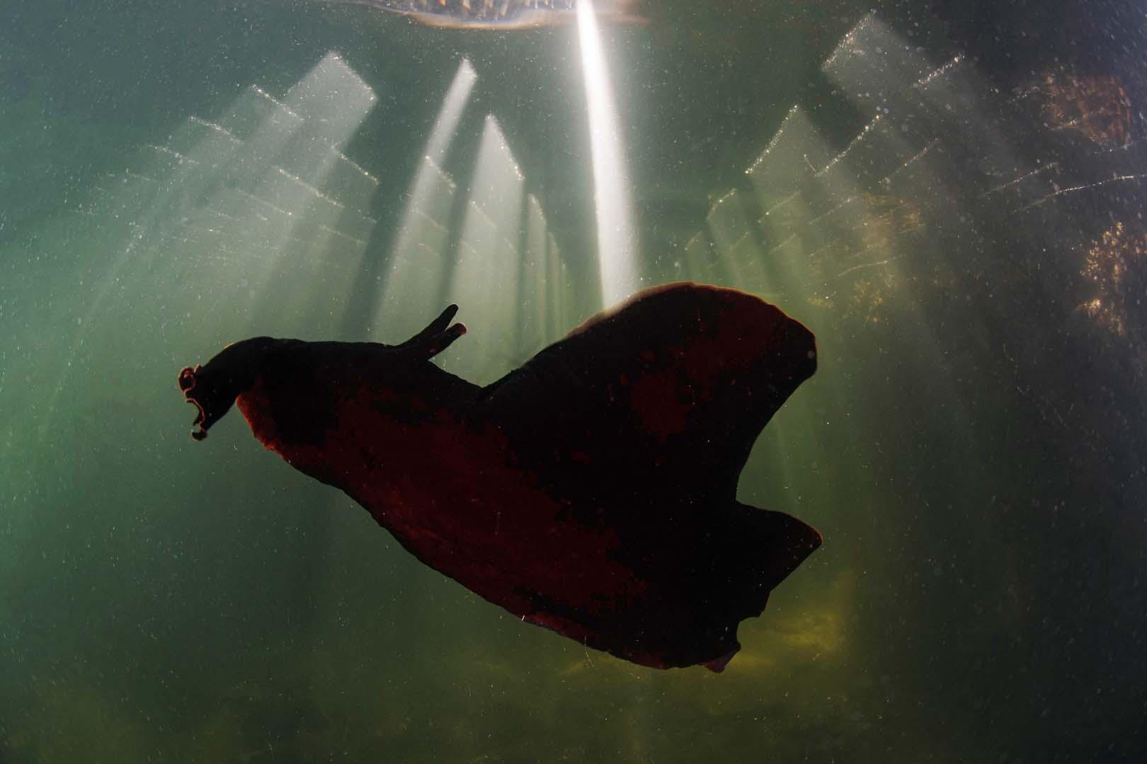Ejemplar adulto nadando bajo los balnearios de La ribera.