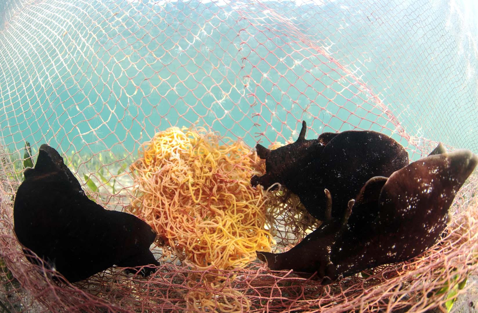 Varios ejemplares depositando la puesta sobre las redes de pesca.
