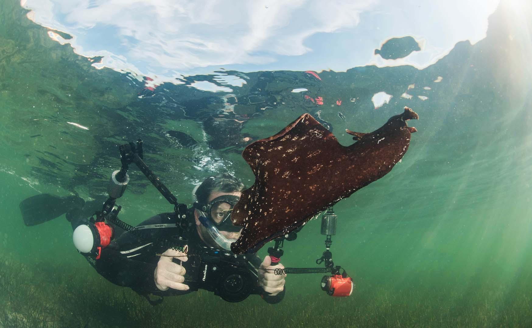 Grandísimo ejemplar nadando. Buzo de fondo para realzar el tamaño de la liebre de mar.