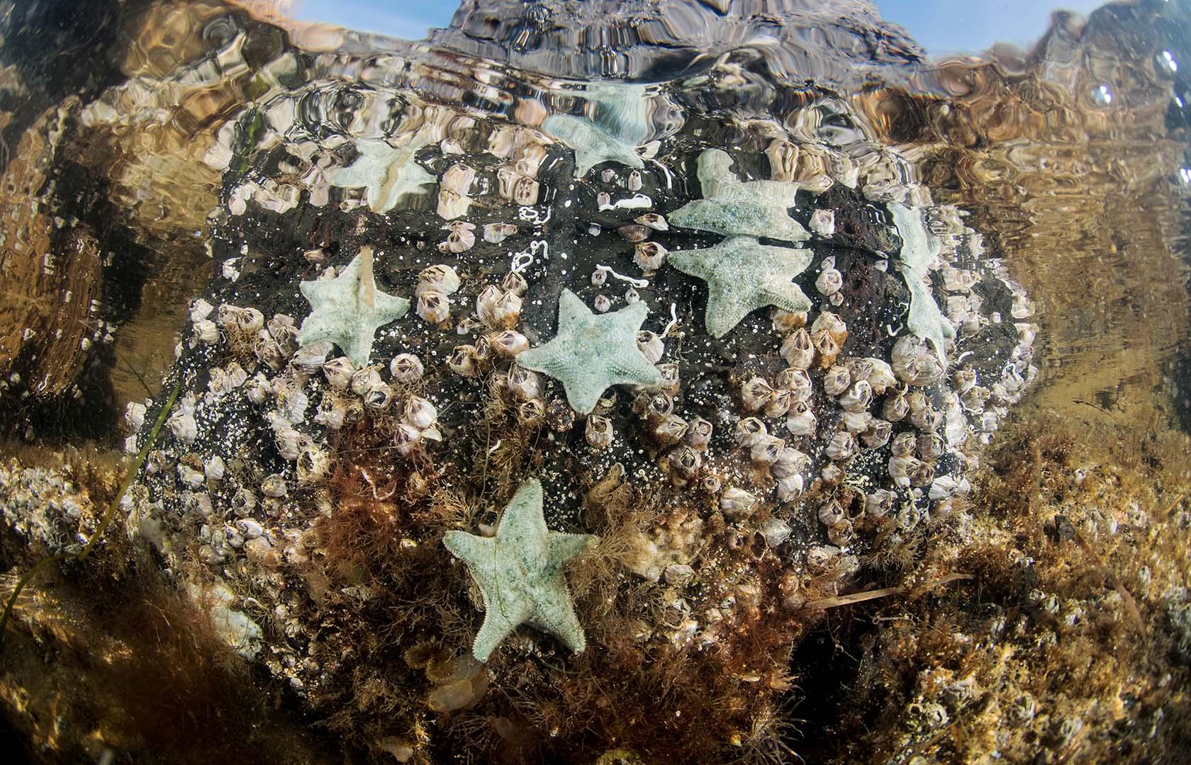 Grupo de Asterina gibbosa en aguas poco profundas del mar Menor.
