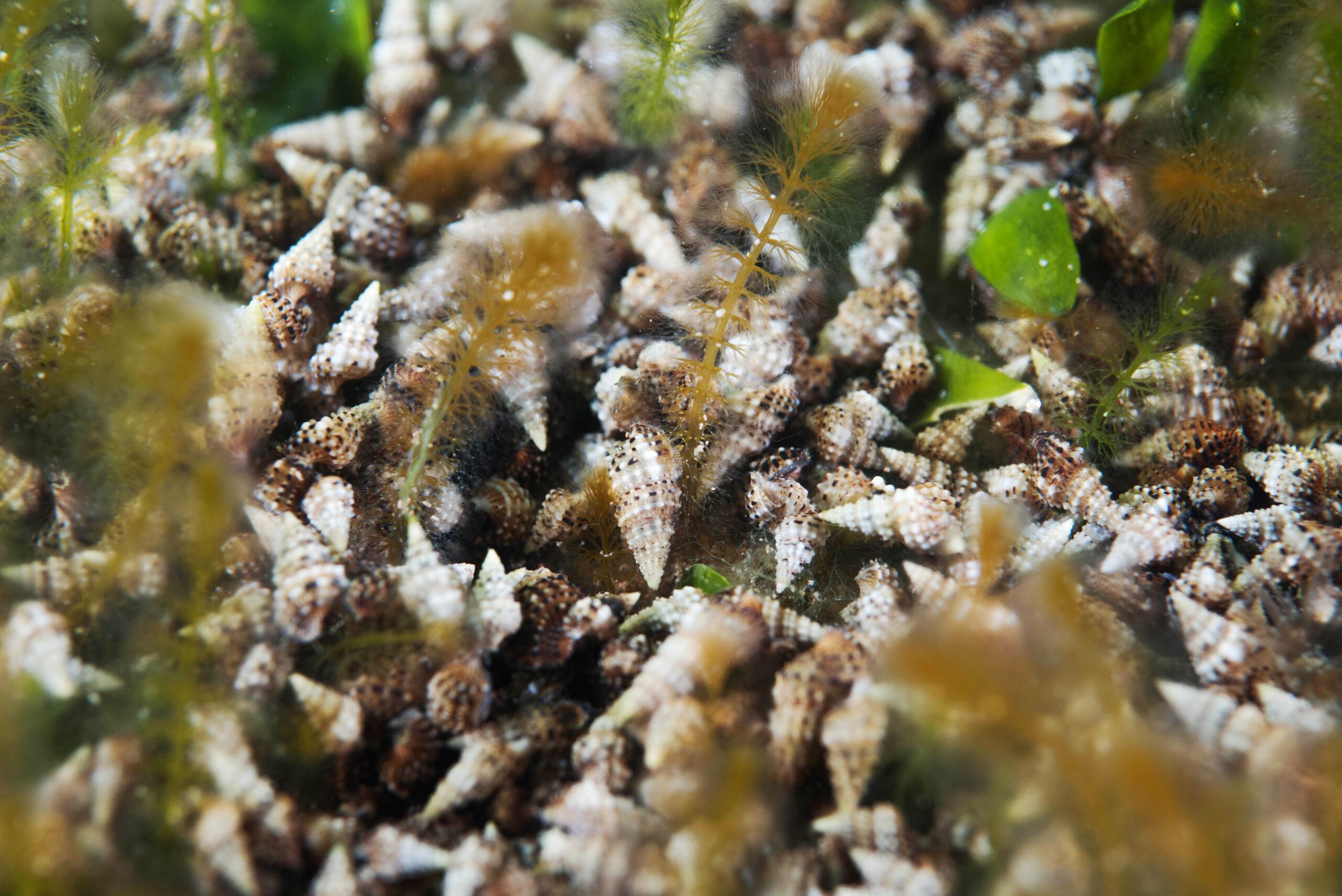 La mayor densidad de Cerithium scabrosum fue localizada, en los meses de abril y mayo, al final de la manga del Mar Menor.