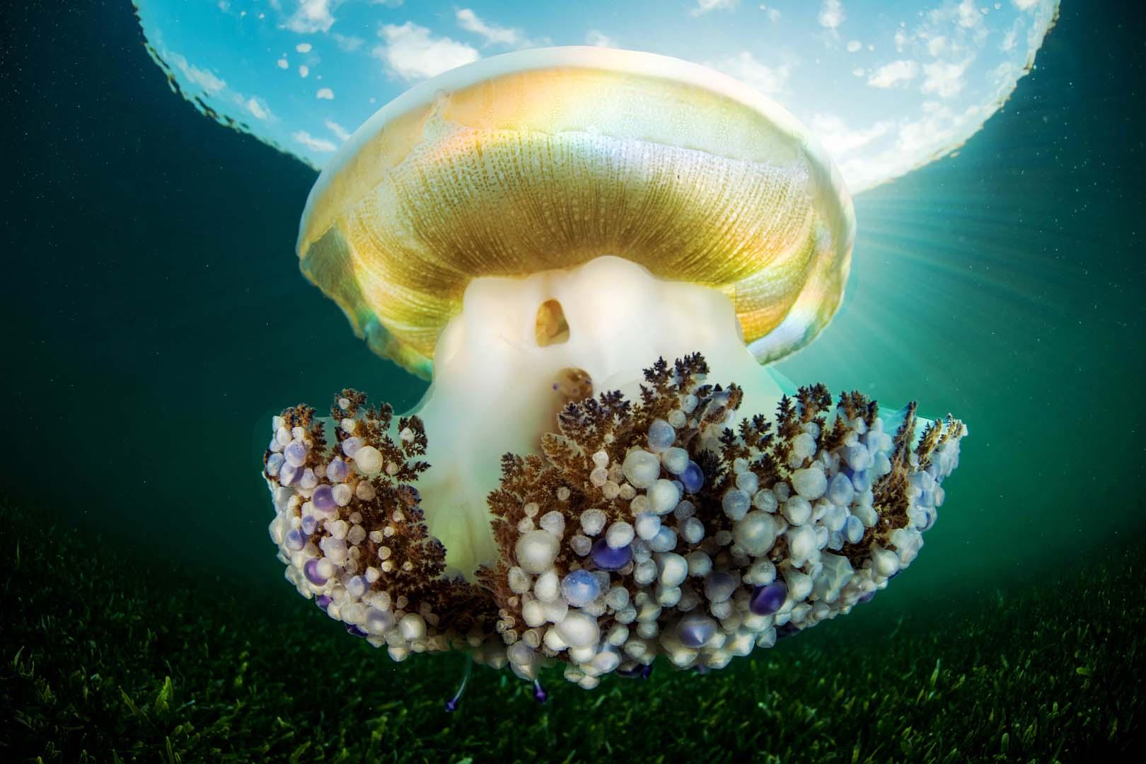 Su característica coloración y su tamaño la hacen difícil de confundir con otras especies.