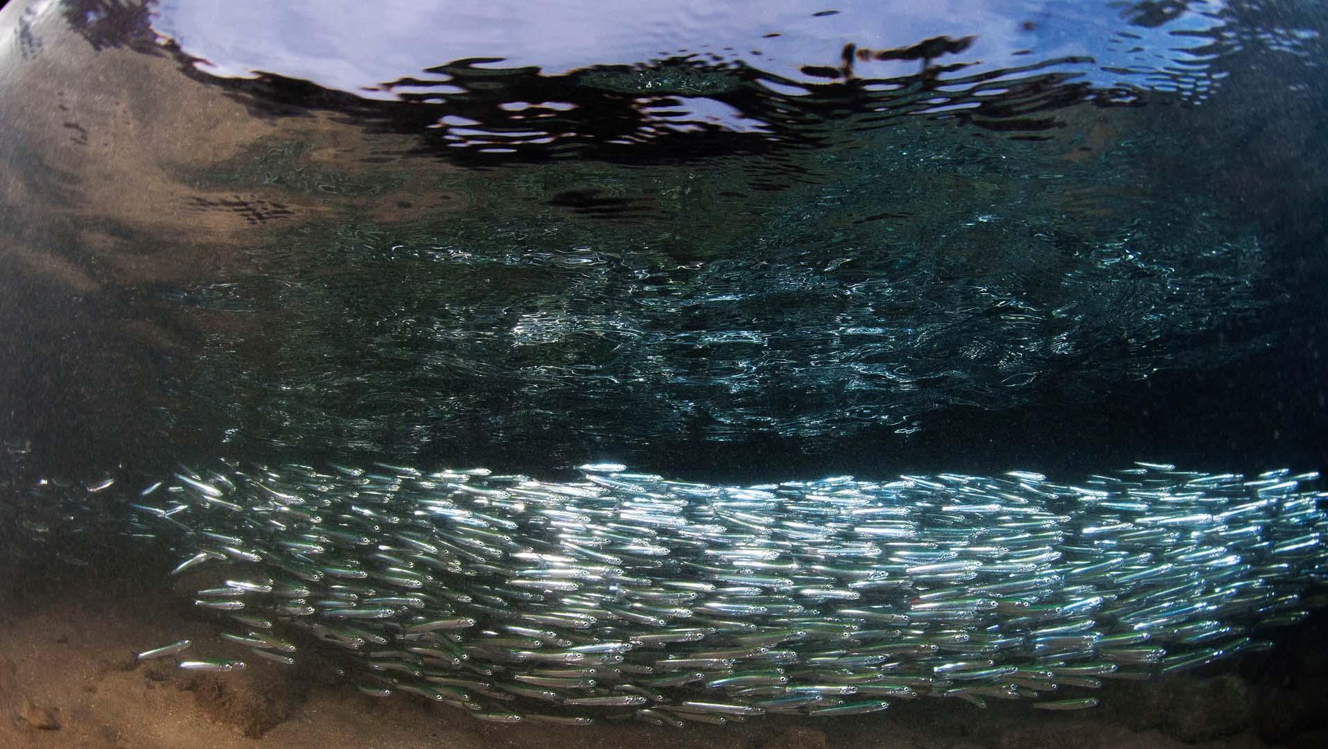 Grupo de boquerones en aguas muy someras en la isla Pediguera del Mar Menor.