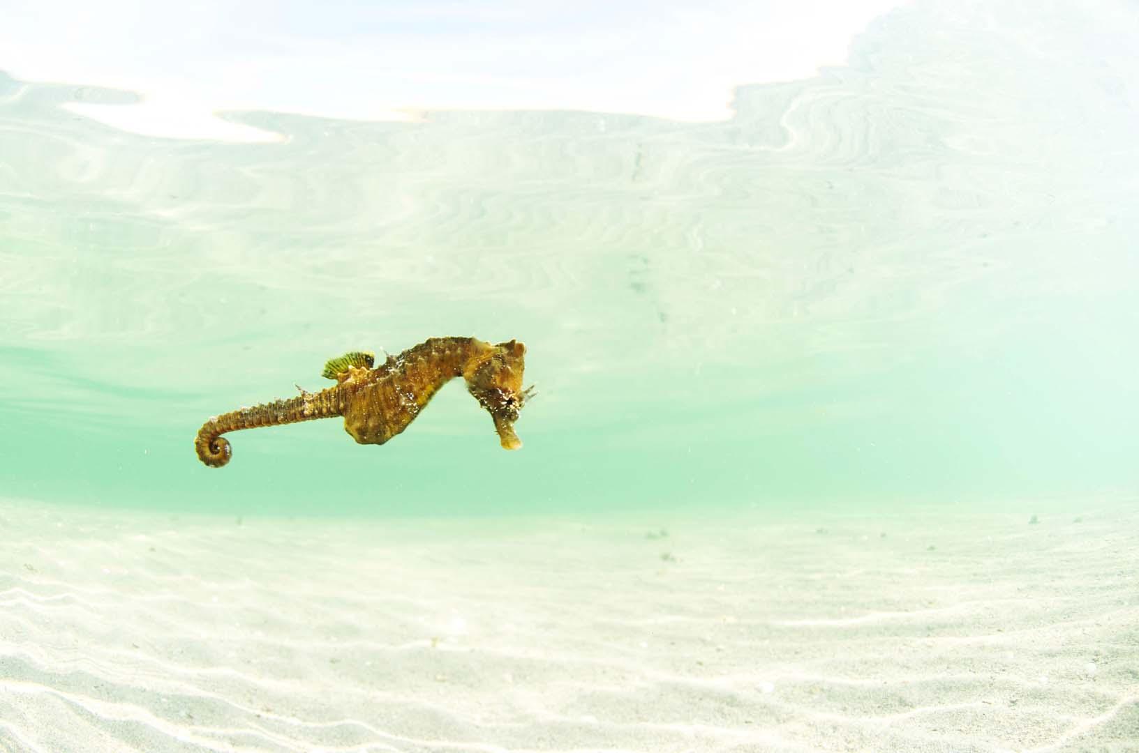 Se trata de una especie muy rara en el Mar Menor.