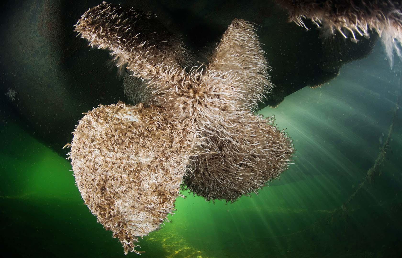 Hélice de un barco totalmente cubierta por este gusano.