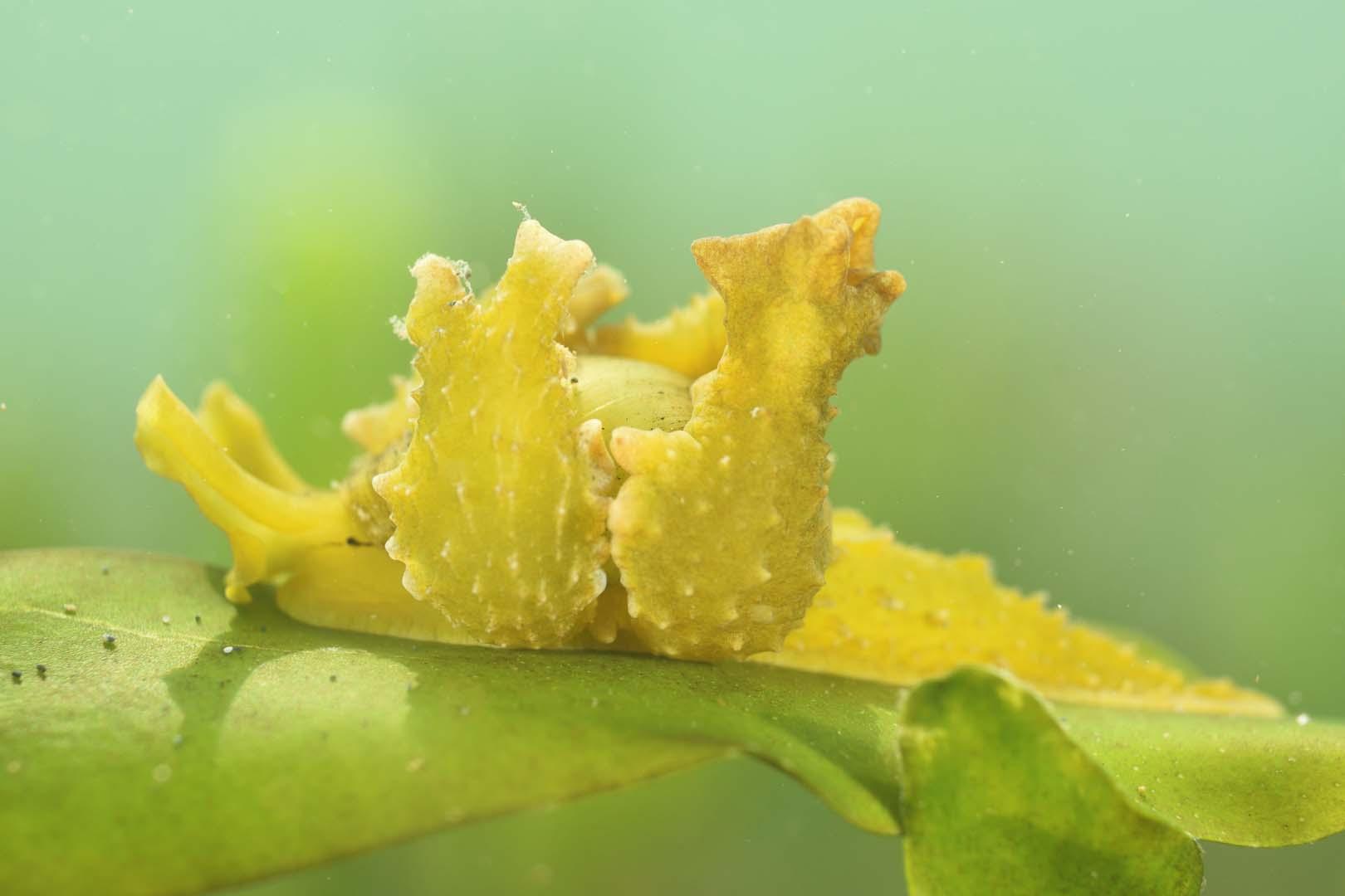 Ejemplar adulto de color amarillento.