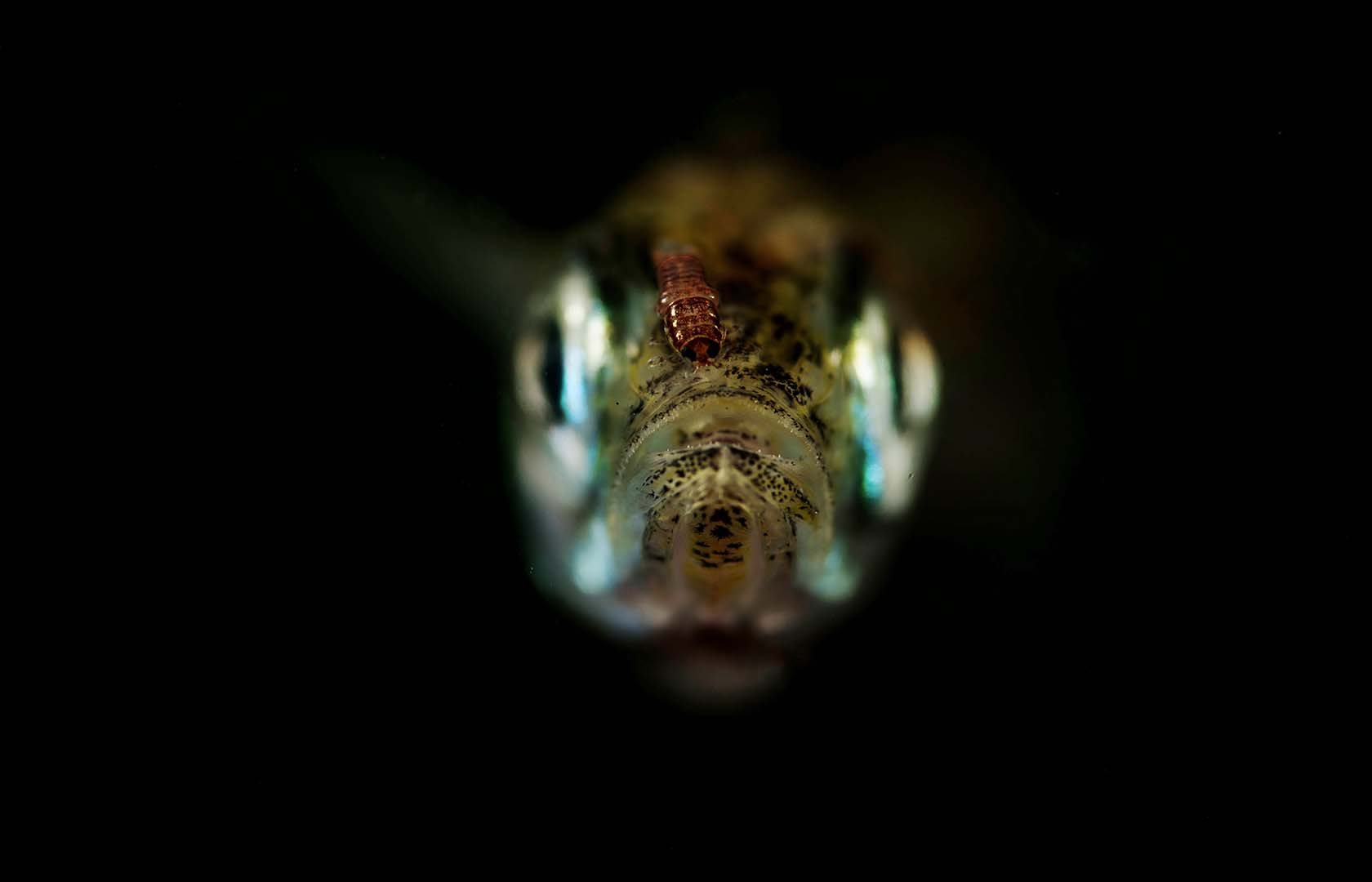 Cabeza de una Atherina sp con un piojo de mar.