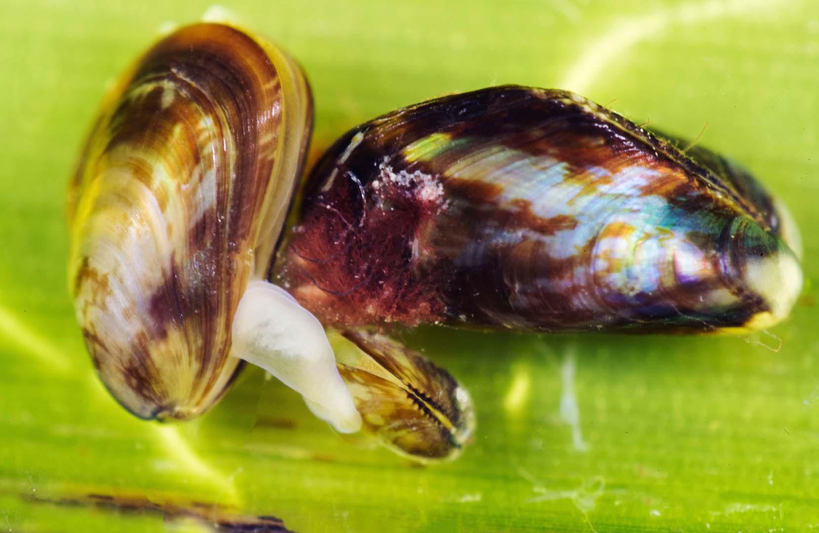 Varios ejemplares juntos sobre la hoja de Cymodocea en aguas someras del Mar Menor.