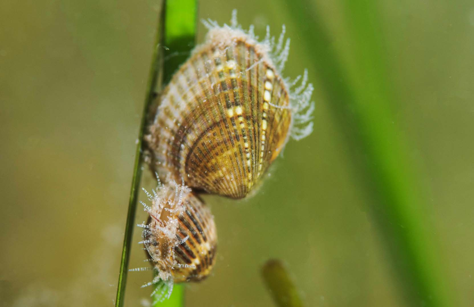 Ejemplar adulto junto a un juvenil en hoja de Cymnodocea.