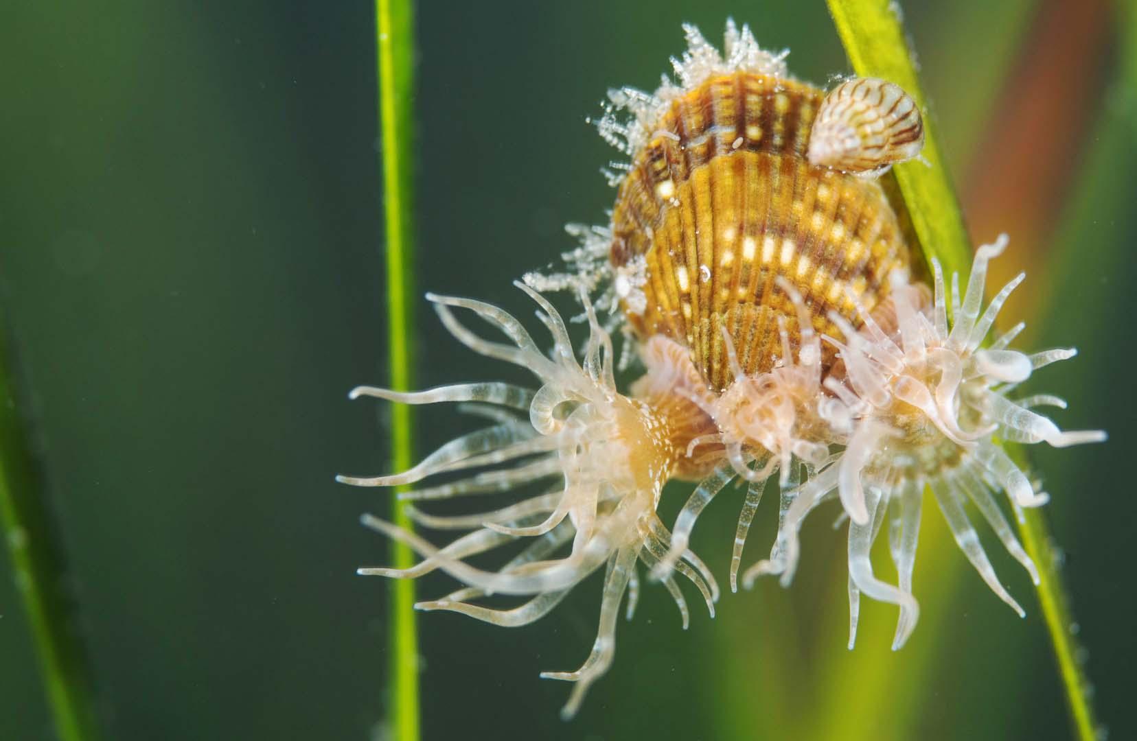 Ejemplar adulto repleto de anémonas de mar. Detalle de la coloración .