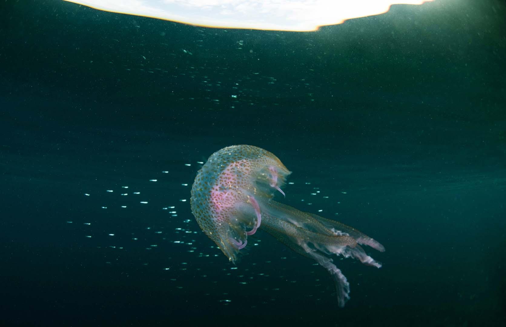 Su característica coloración rosada y su tamaño la hacen difícil de confundir con otras especies.