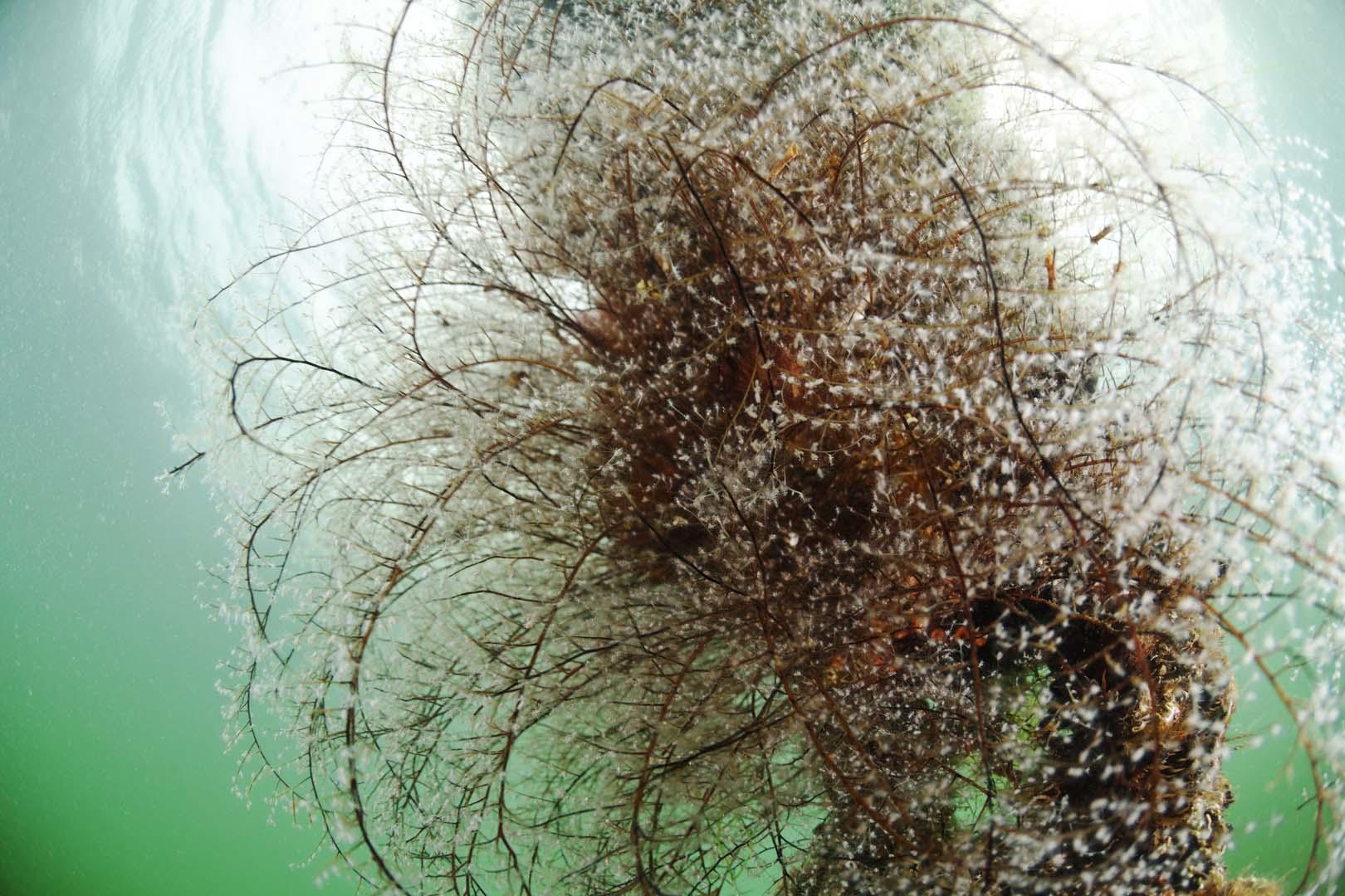 Pennaria disticha está presente en todas las aguas cálidas del mundo, habitando sobre rocas a poca profundidad.