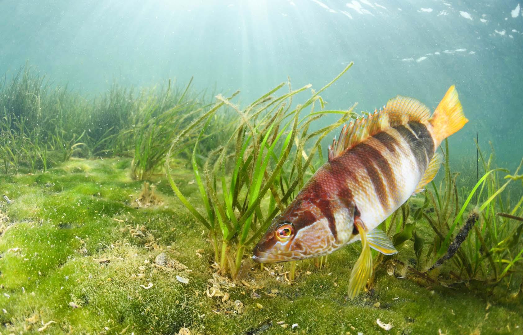 Básicamente son peces litorales y propios de mares tropicales y templados del planeta.