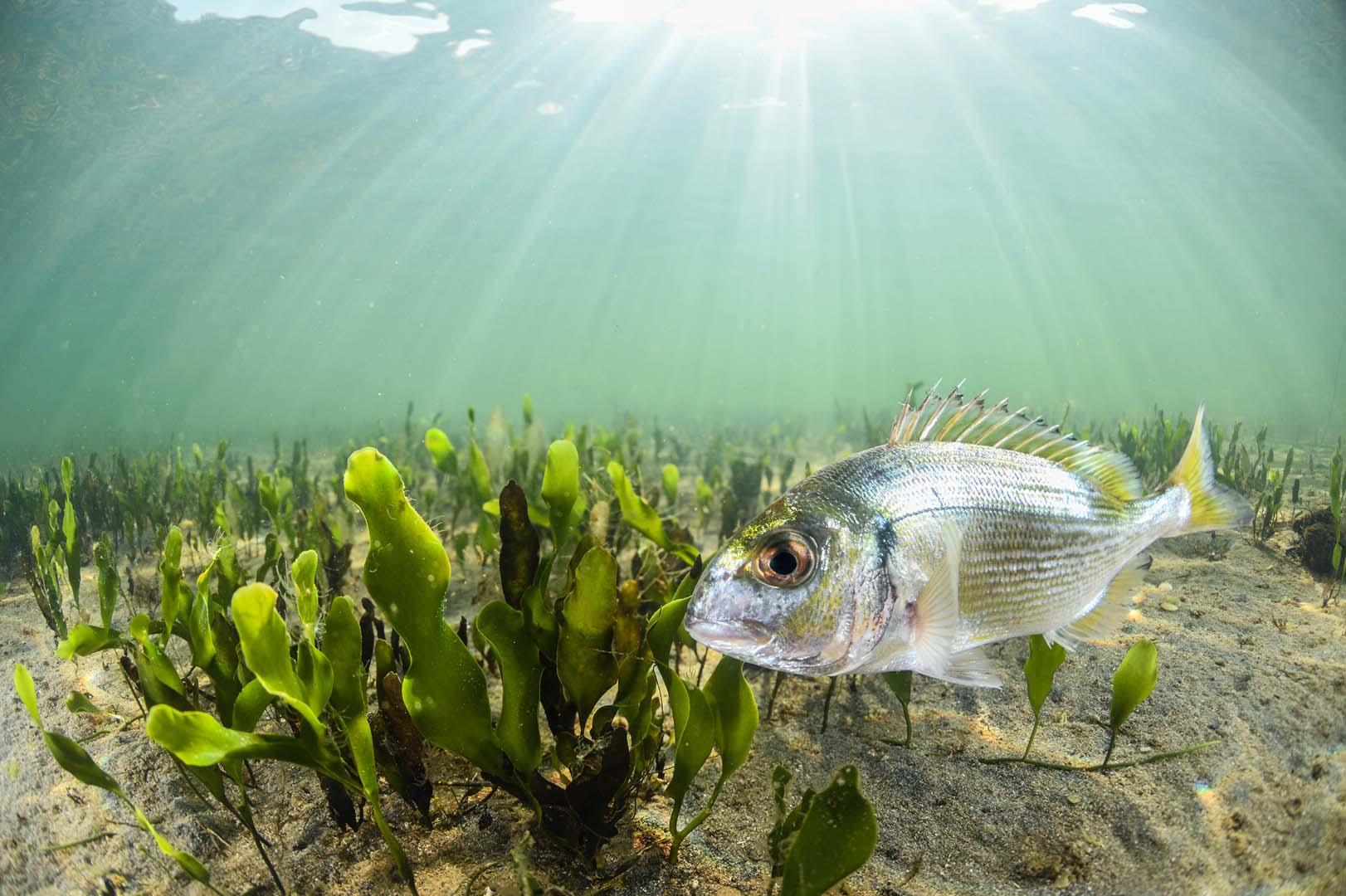 Ejemplar juvenil en aguas del mar Menor.