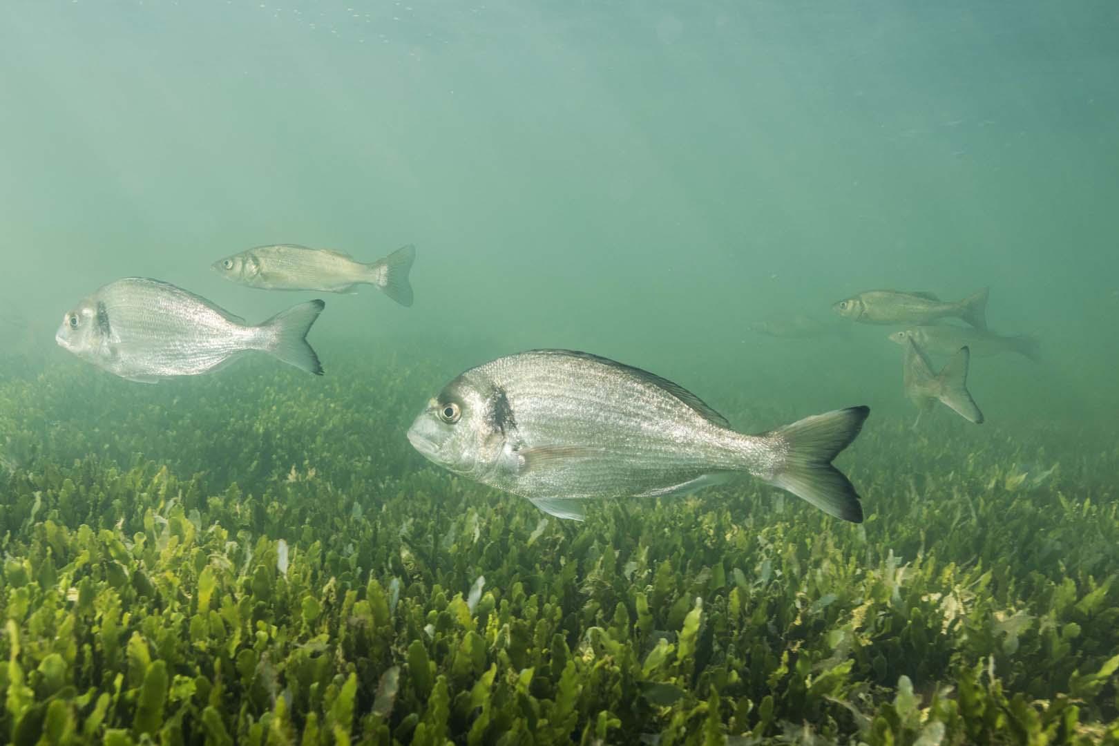 Grupo de doradas nadando.