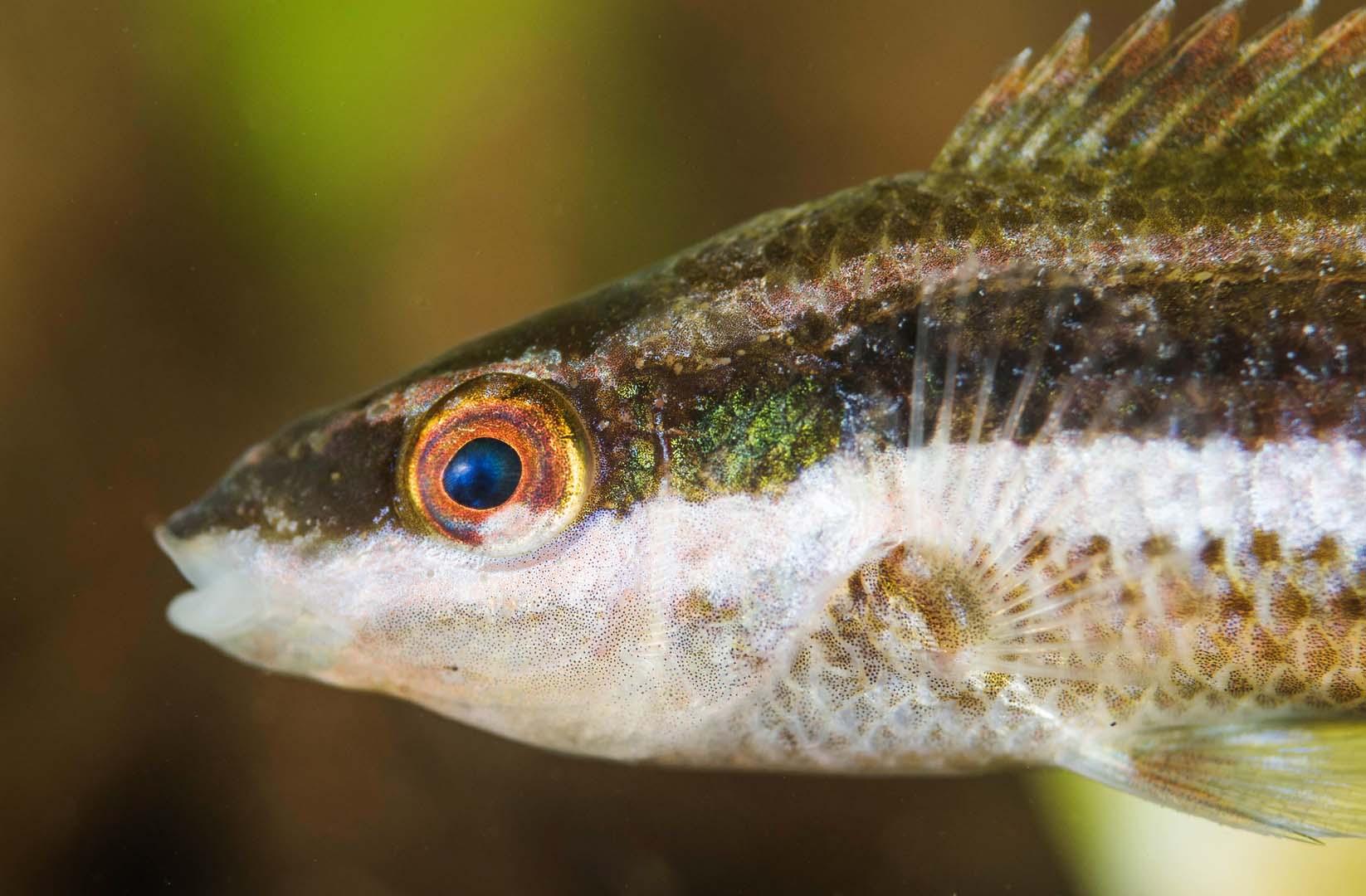 En el Mar Menor suele buscar protección entre praderas de Caulerpa prolifera y otras algas.