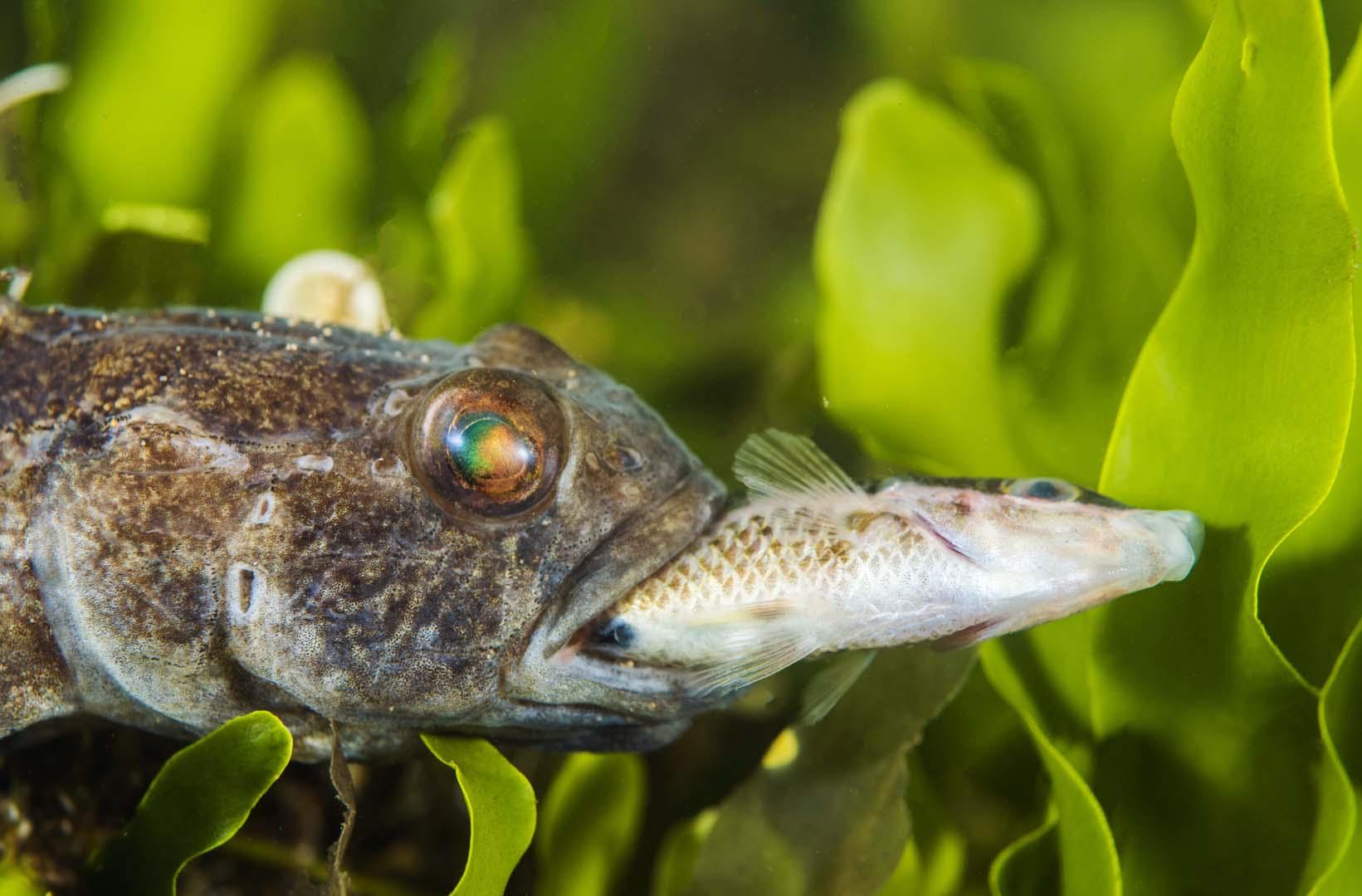 Uno de los ejemplares avistados fue cazado por un Gobius niger.