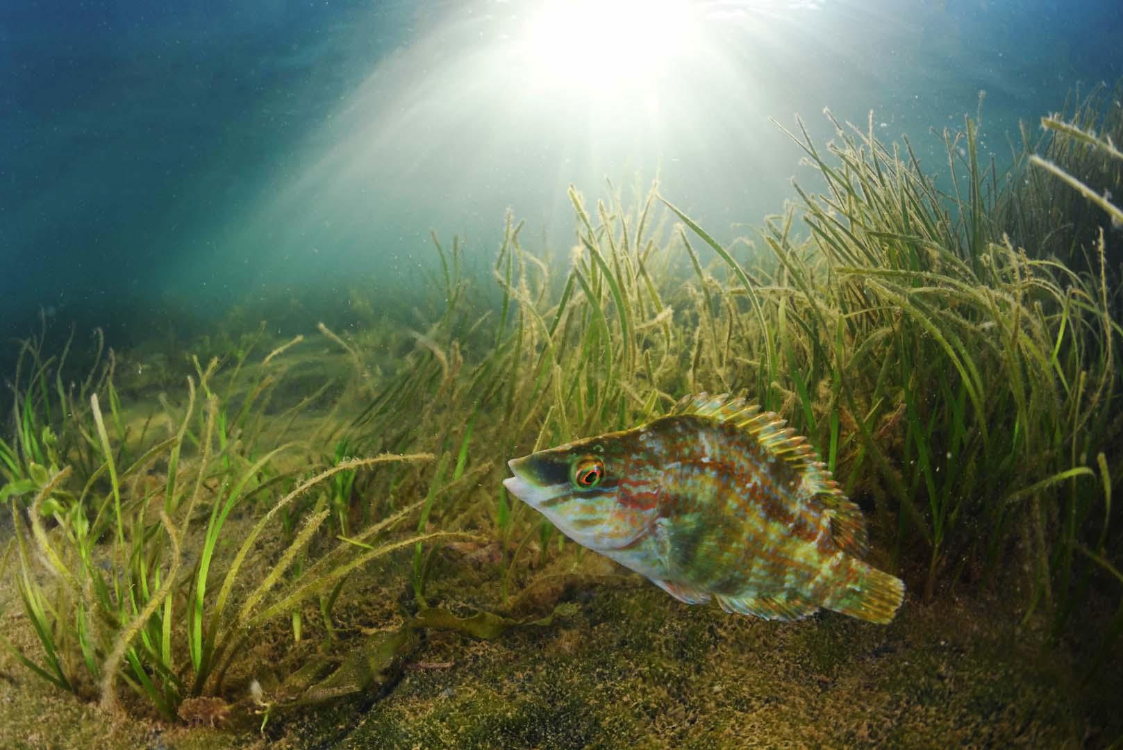 Se trata de una especie cada vez más abundante en el Mar Menor.