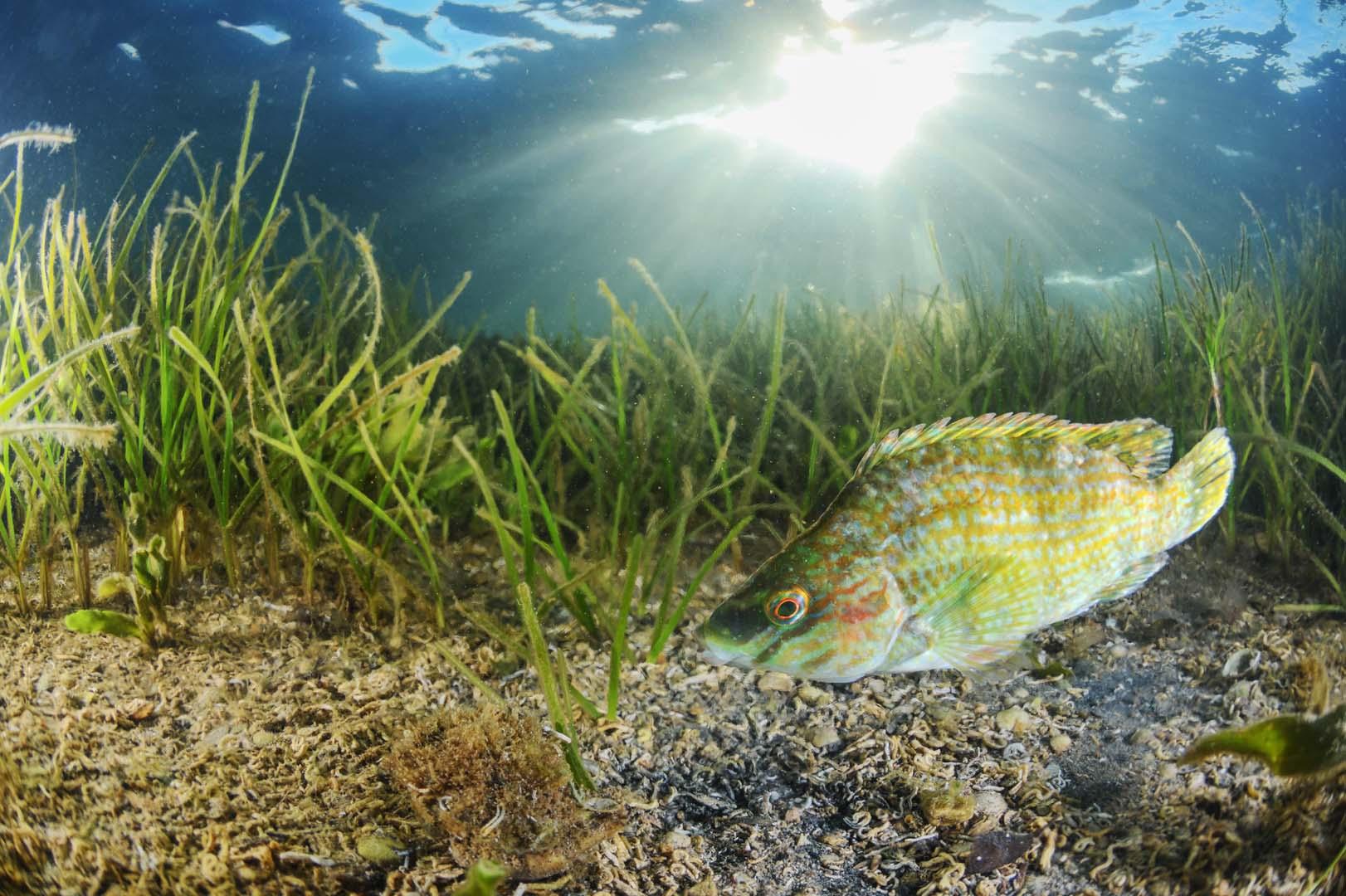 Ejemplar adulto algo deformado fotografiado en el Mar Menor.