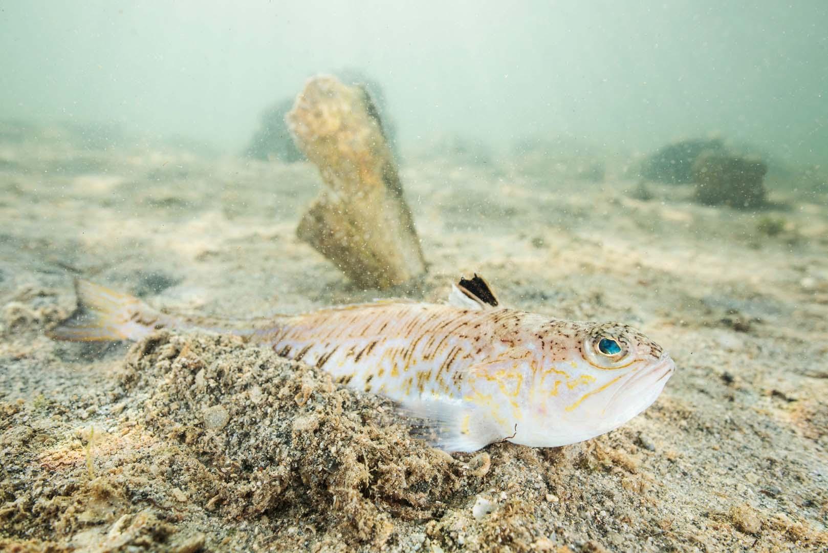 Ejemplar adulto enterrándose en el arenal, al fondo una nacra.