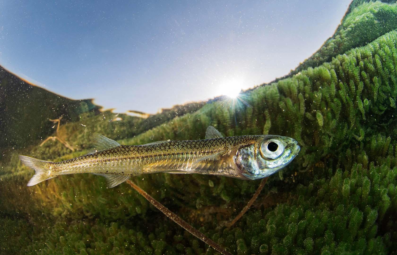 Se trata de una especie típica del mar Menor.