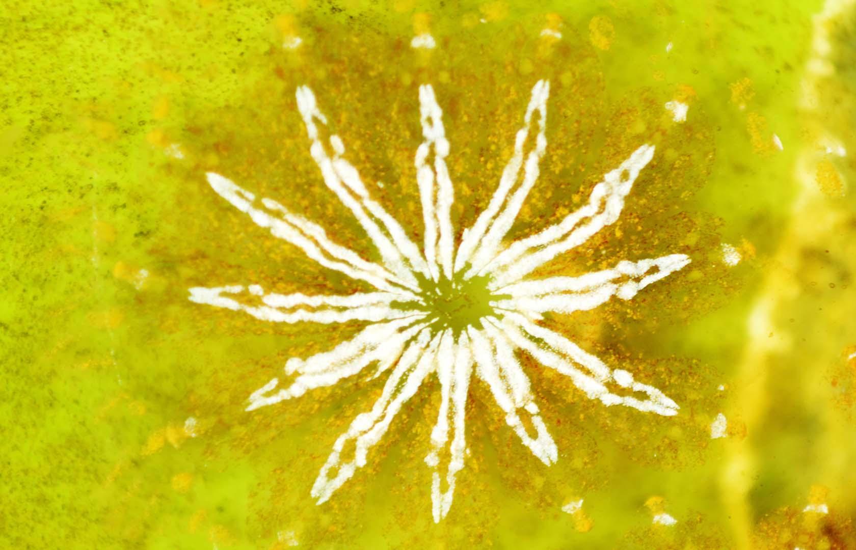 Suele aparecer sobre Caulerpa prolifera.