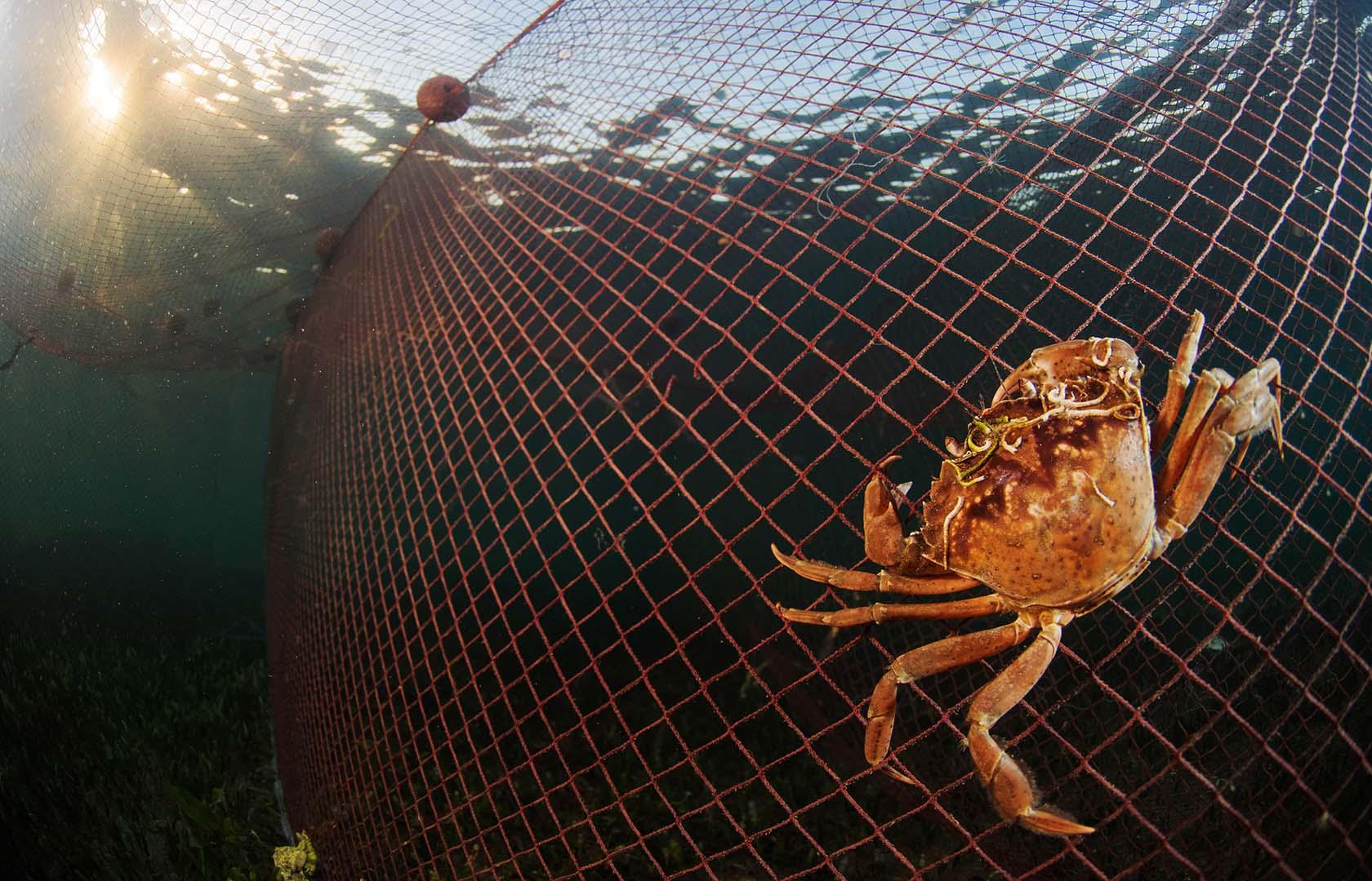 Suelen buscar peces enmallados en las redes de pesca.