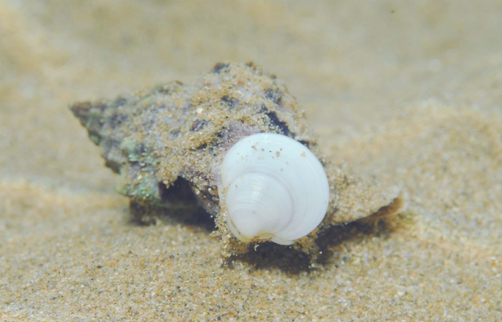 Ejemplar devorado por una caracola Hexaplex trunculus.