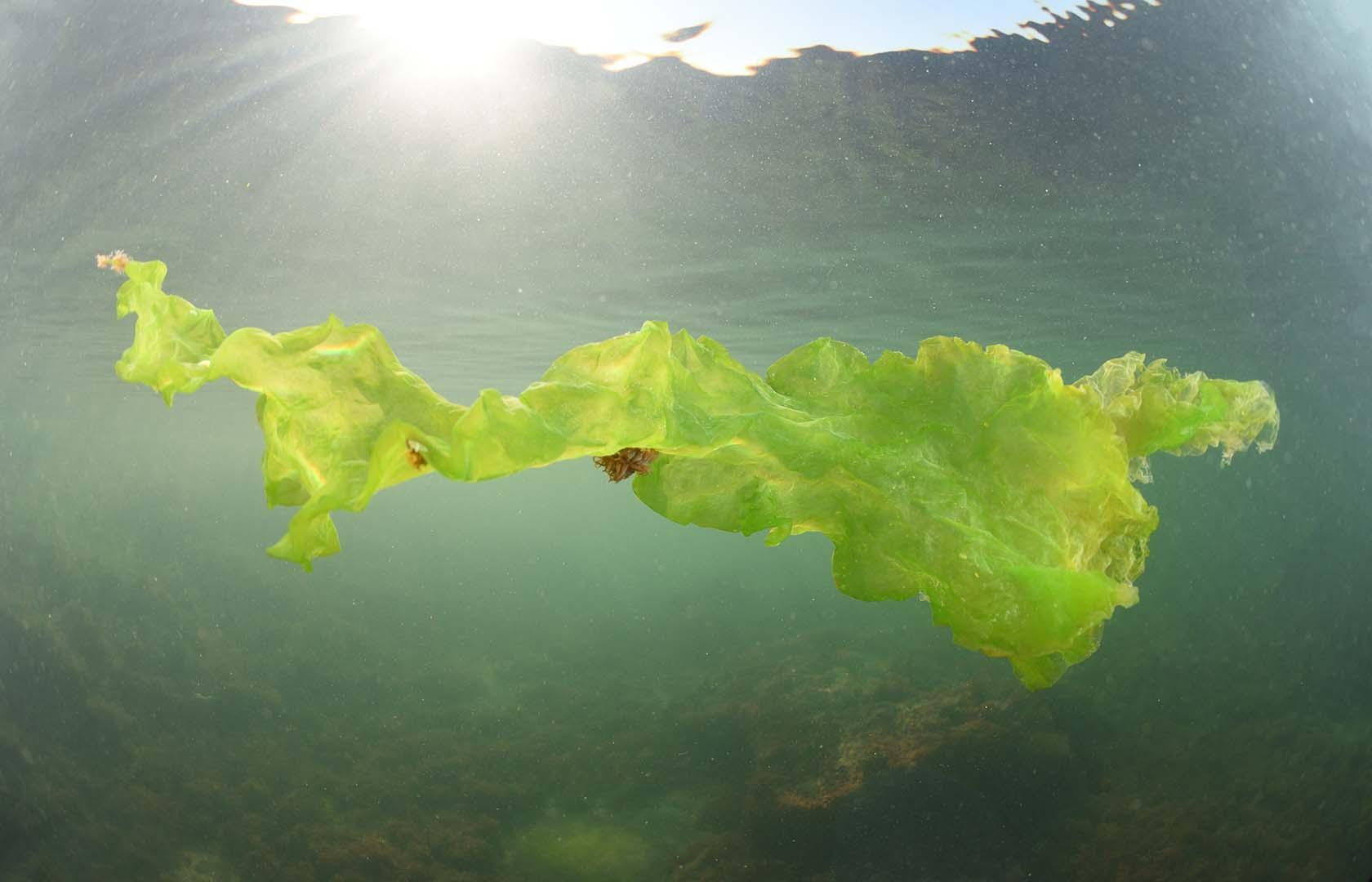 Esta alga sirve de cobijo a muchas especies marinas.