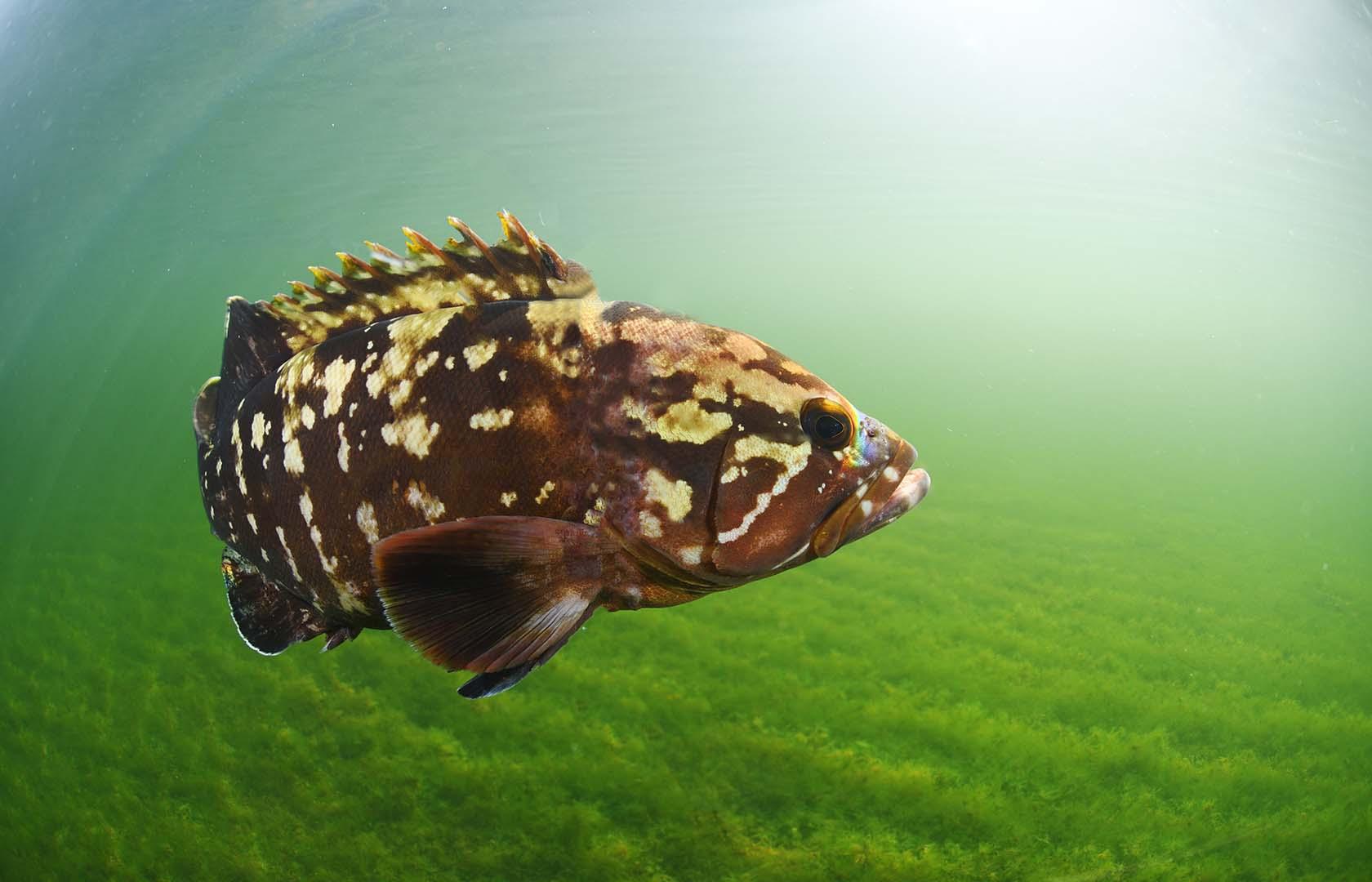 Se trata de una especie rara en el Mar Menor, aunque cada año más abundante.