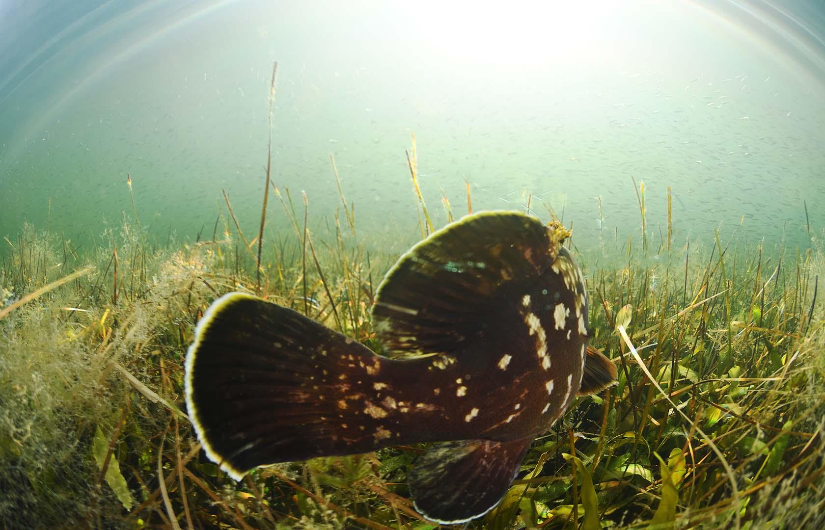 En el Mar Menor suele buscar protección entre praderas de Caulerpa prolifera, rocas, balnearios y puertos.