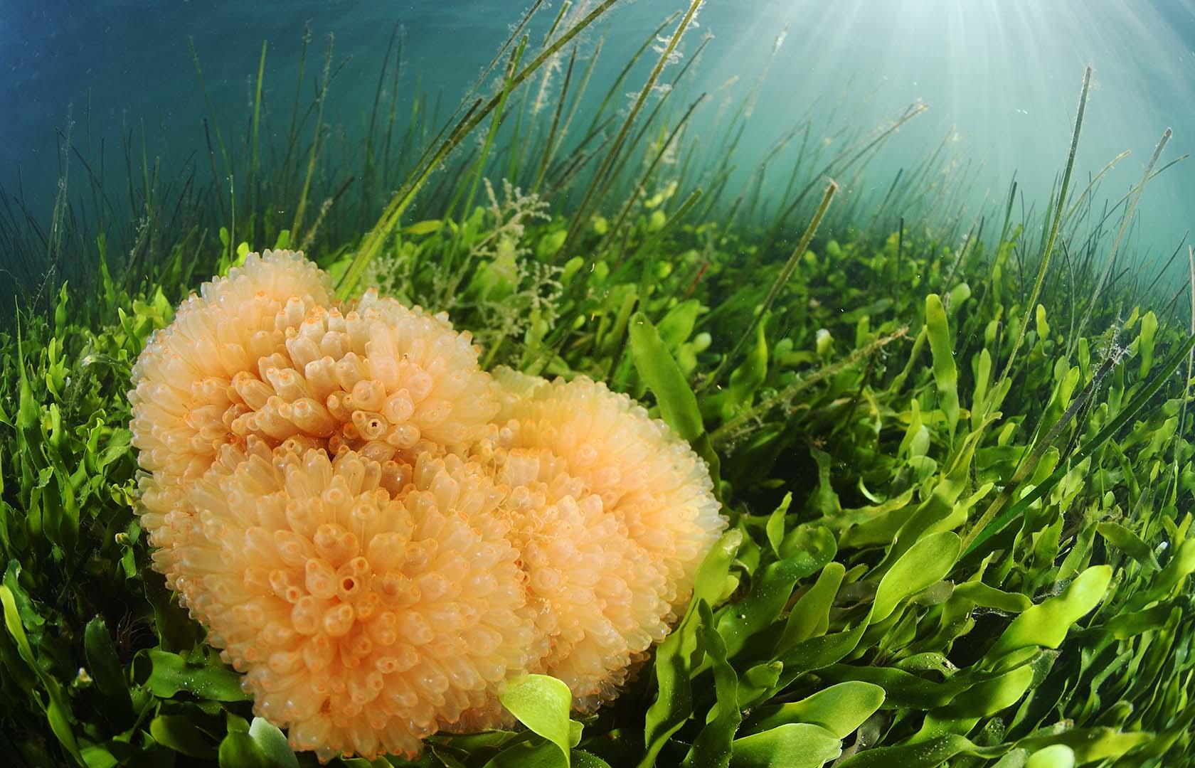 Esta especie suele crecer sobre roca, puertos y praderas de fanerógamas.