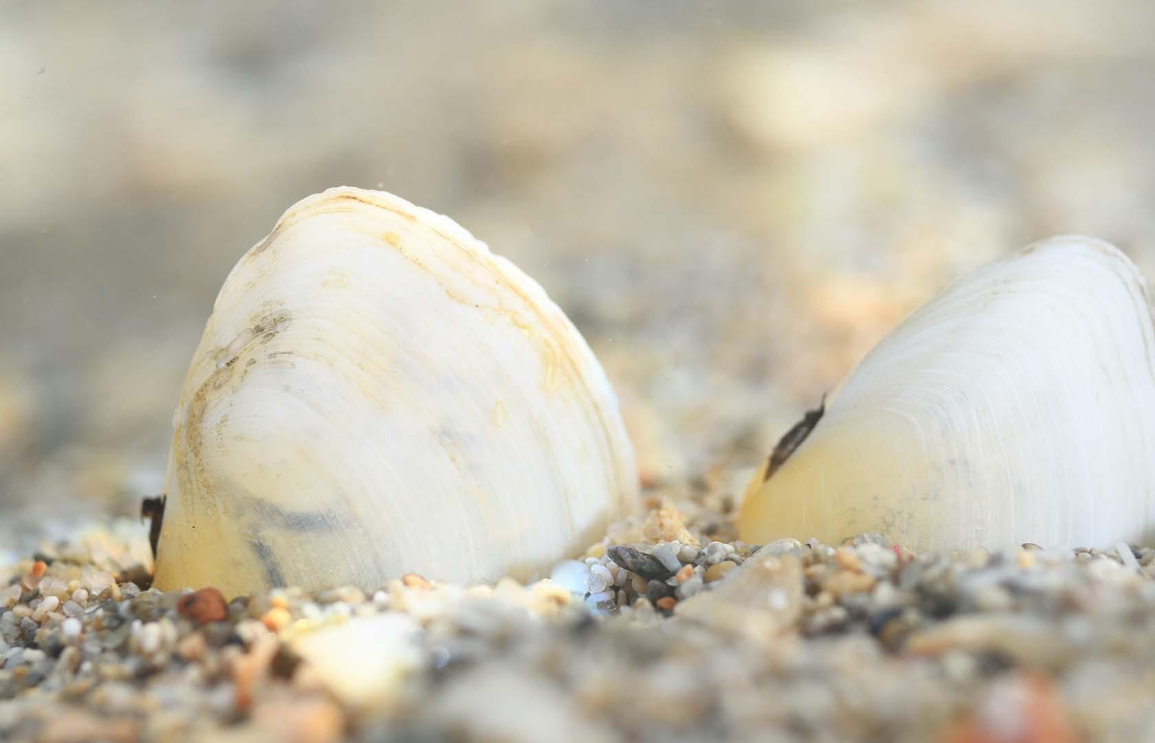 Es más abundante en los arenales de la manga.