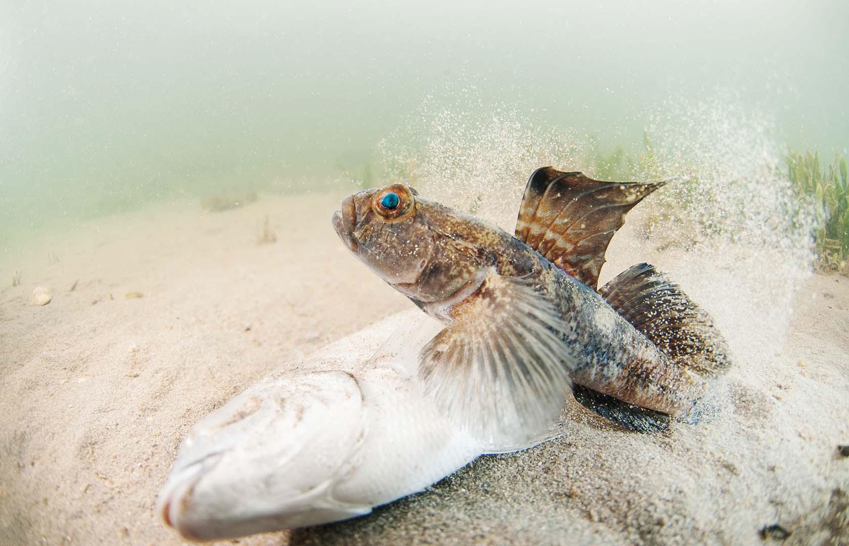 Se trata de una especie típica en cualquier fondo del mar Menor.