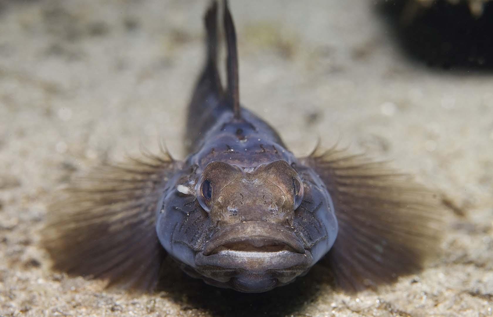Pueden medir hasta 14 cm y pueden nadar rápidamente cuando se sienten amenazados y esconderse en cualquier grieta o agujero.