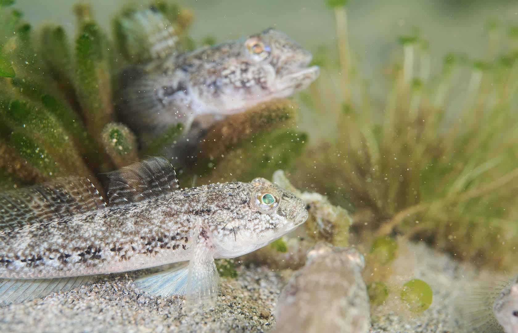 Varios ejemplares atacando a un caballito de mar.