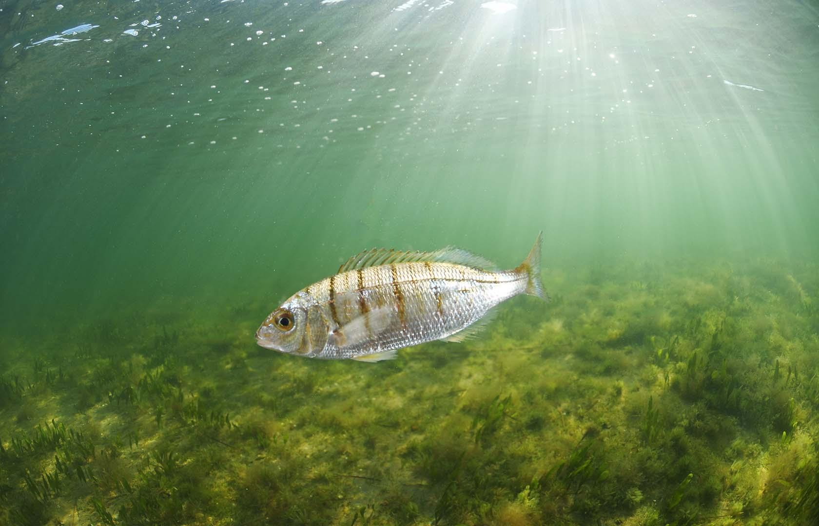 Es una especie valorada en pesquerías.