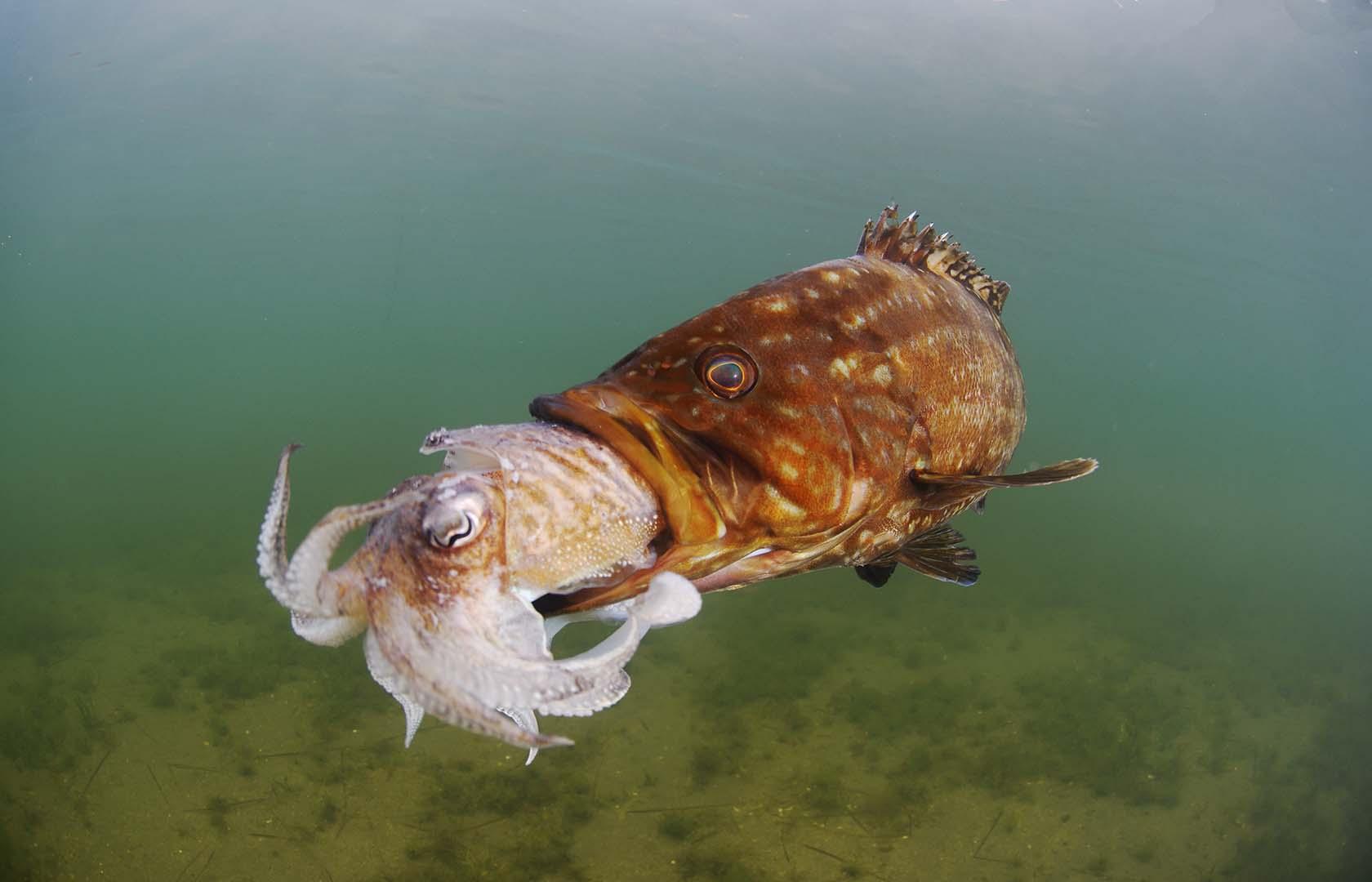 Se trata de una especie rara en el Mar Menor.