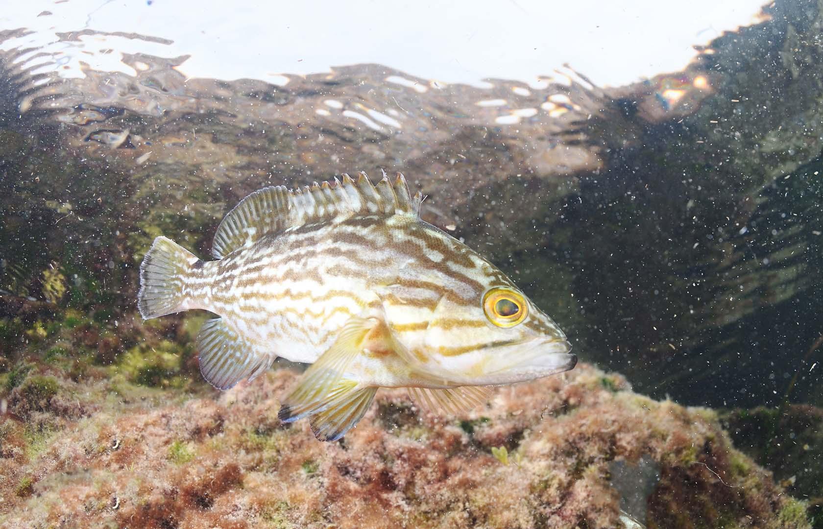 Ejemplar adulto fotografiado en el Mar Menor.