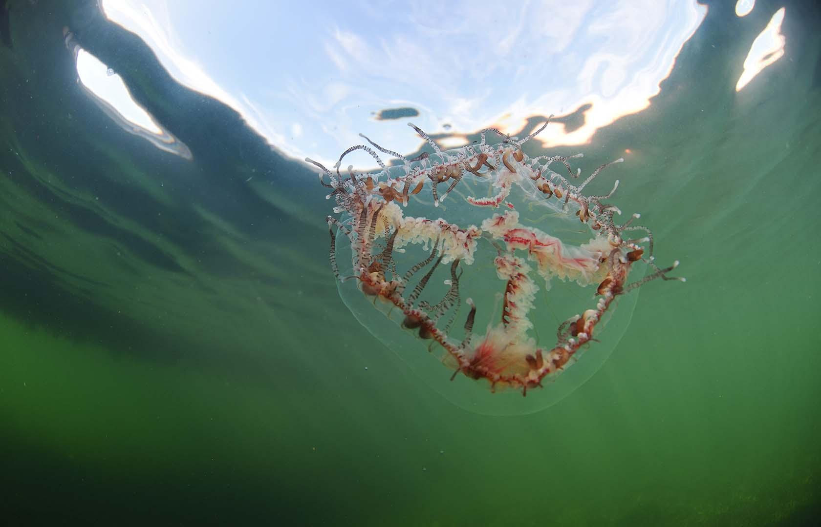 Aunque de hábitos nocturnos, en el mar Menor se han observado ejemplares a plena luz del día.