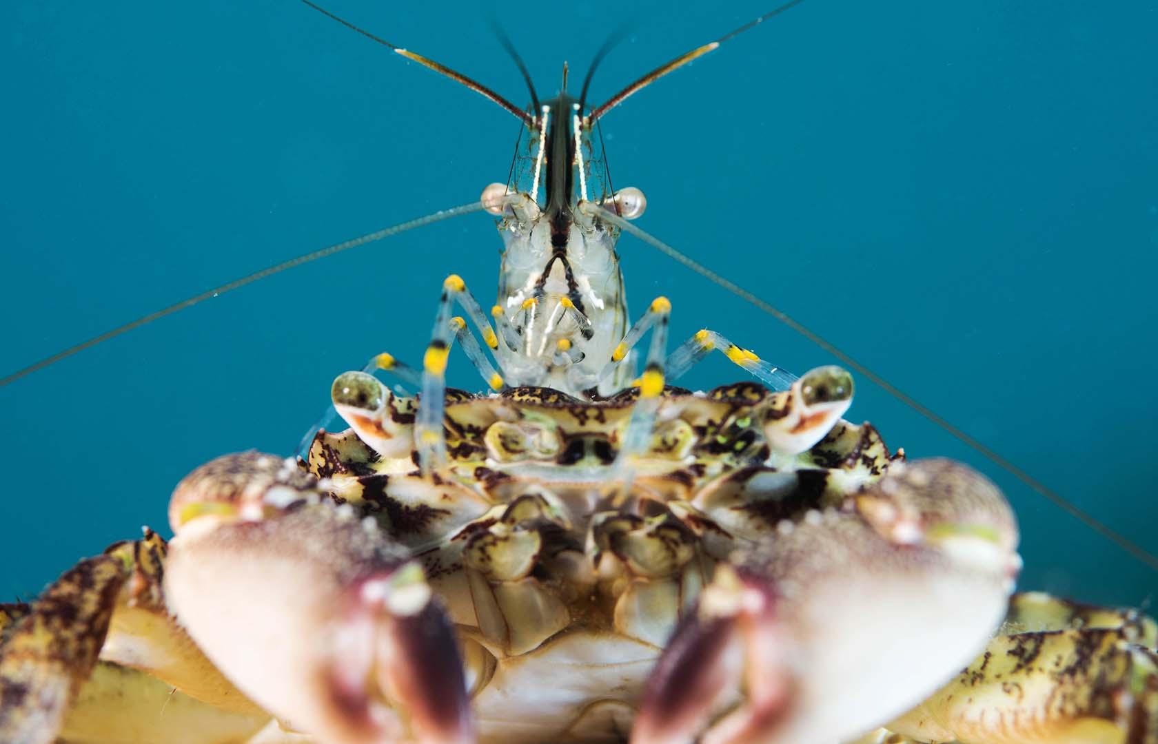 Cangrejo conviviendo con un camarón.