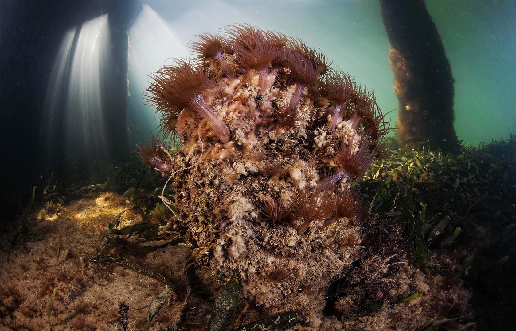 Gusta de grandes arenales y praderas de algas y fanerógamas.