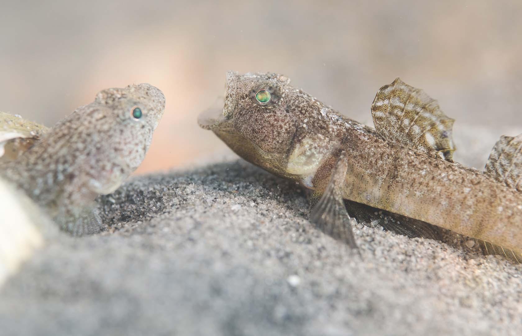 Macho adulto en época de reproducción.