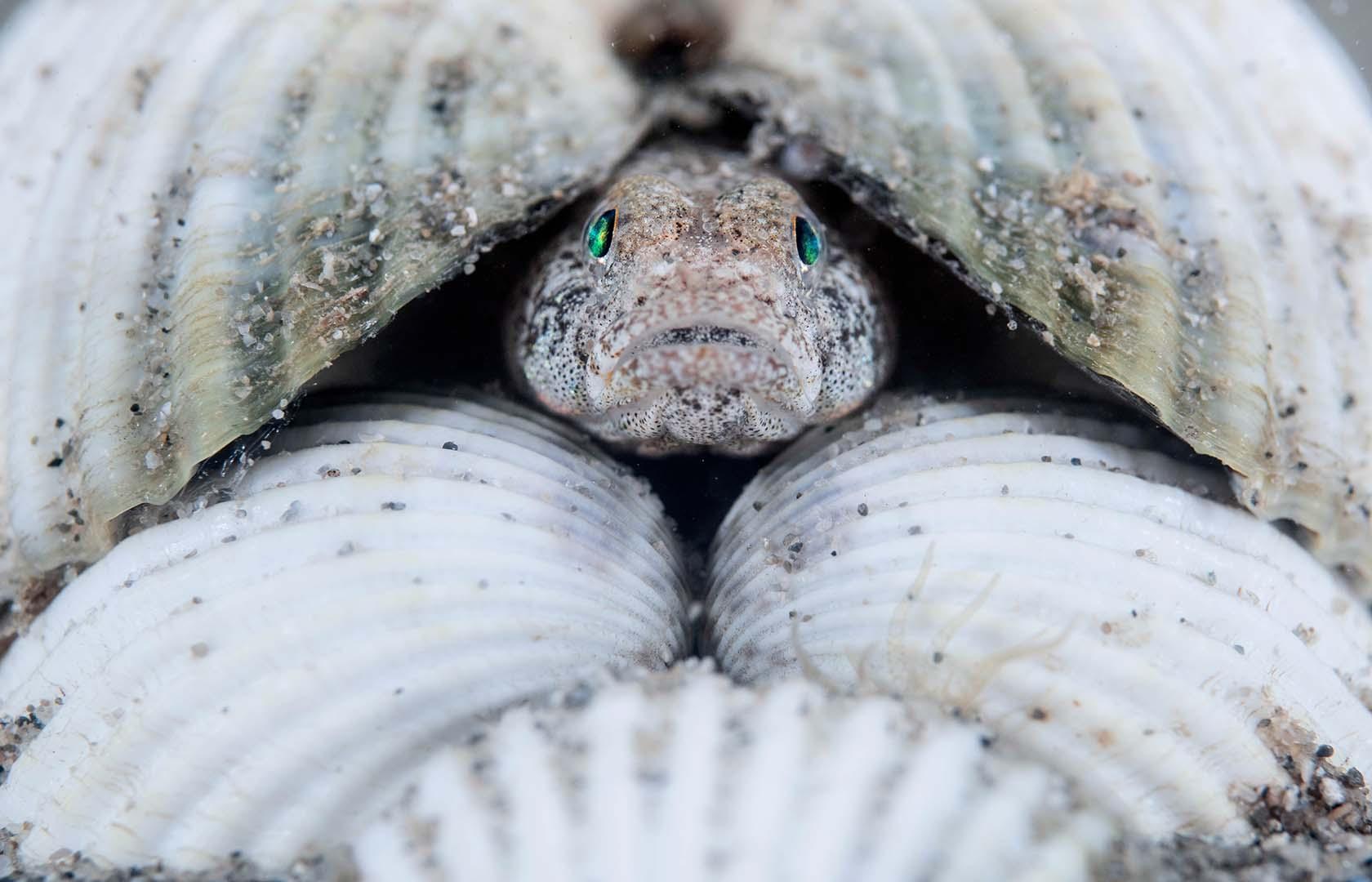 Macho adulto custodiando la puesta depositada bajo la concha de un berberecho.