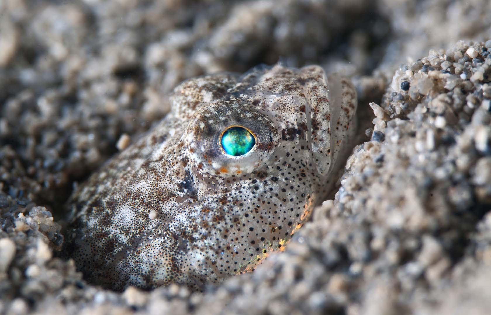 Se trata de una especie muy abundante capaz de enterrarse en caso de peligro.