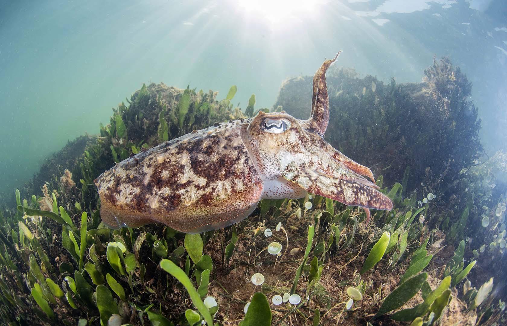 Ejemplar adulto nadando bajo los balnearios de lo Pagán.
