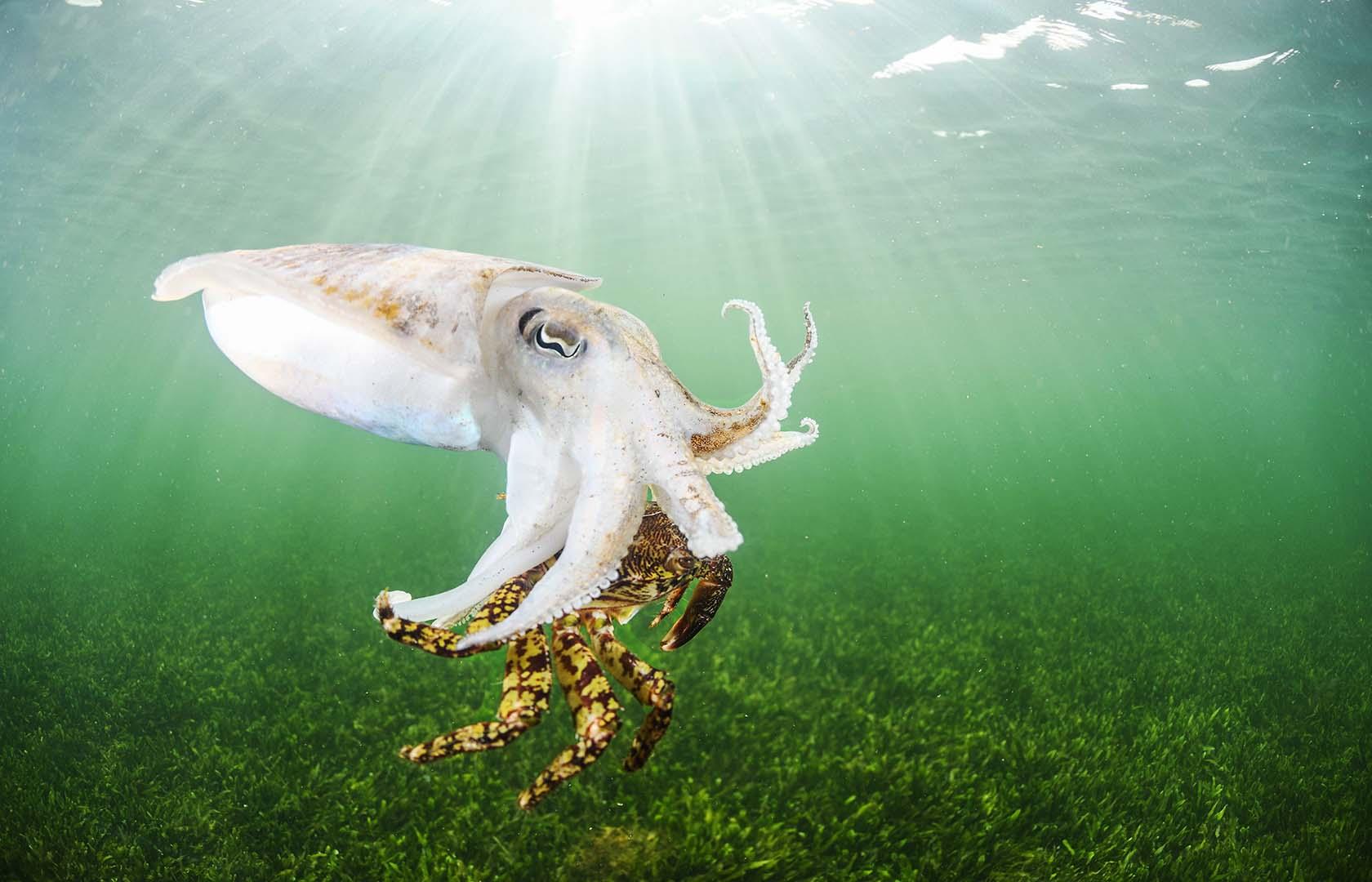 Ejemplar nadando junto a la superficie con un cangrejo corredor.