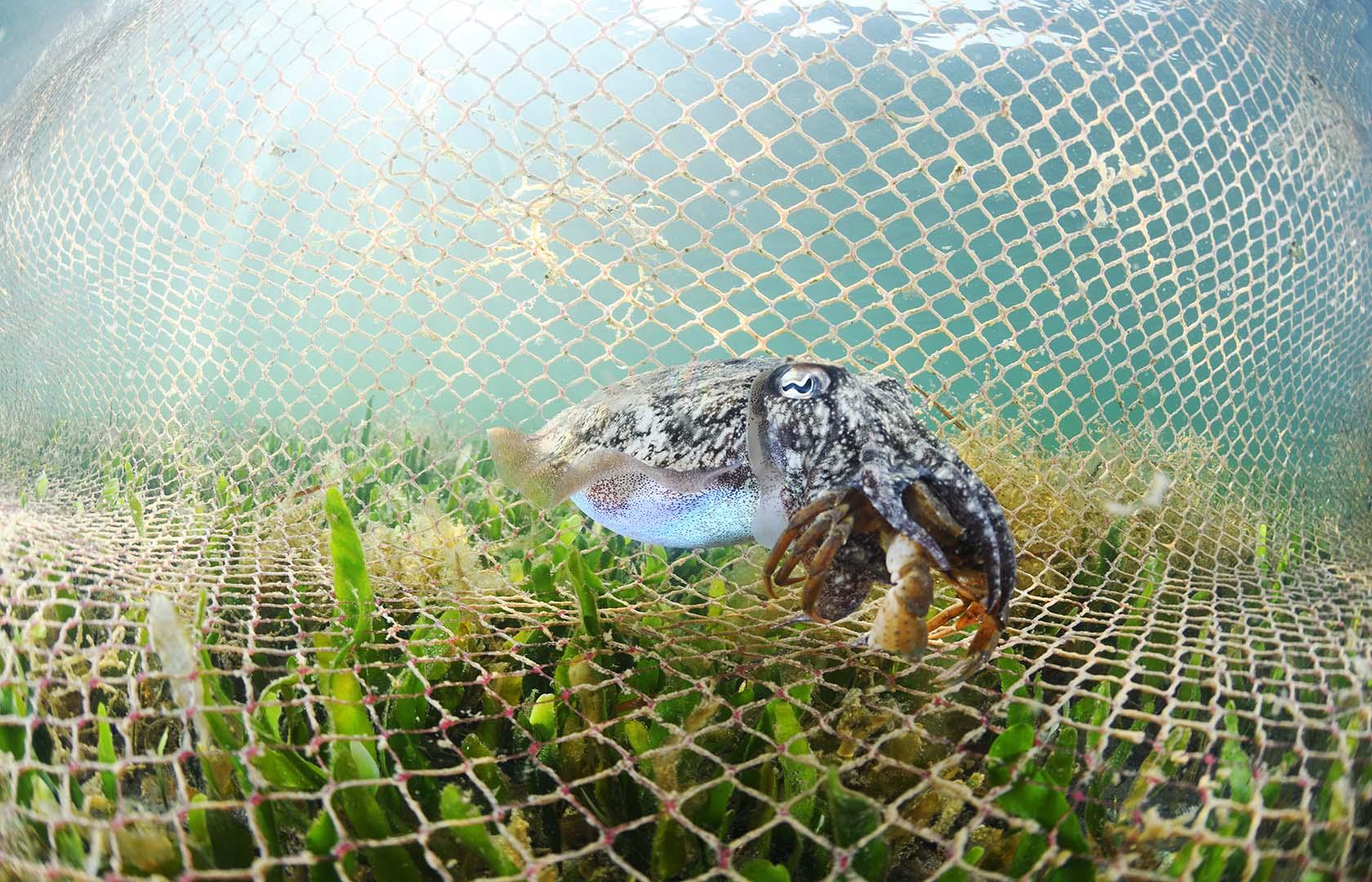 Adulto devorando un cangrejo Carcinus aestuarii.