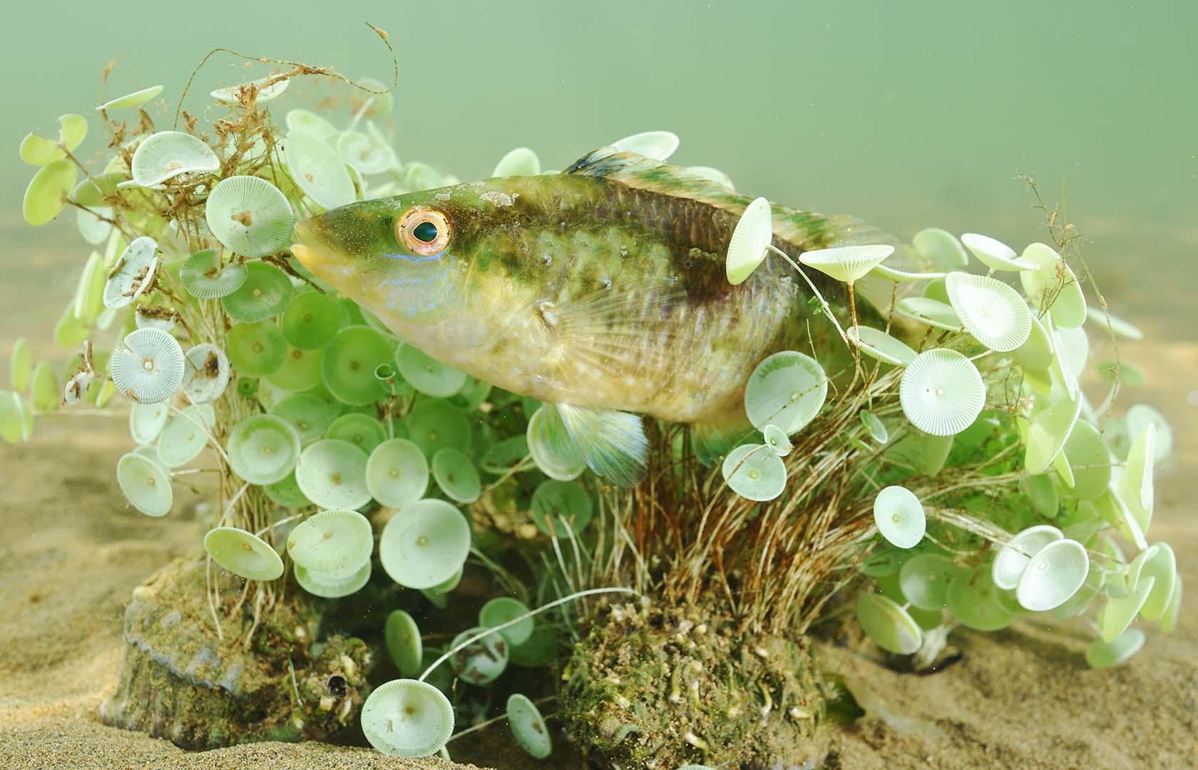 Durante la reproducción los machos fabrican un nido.
