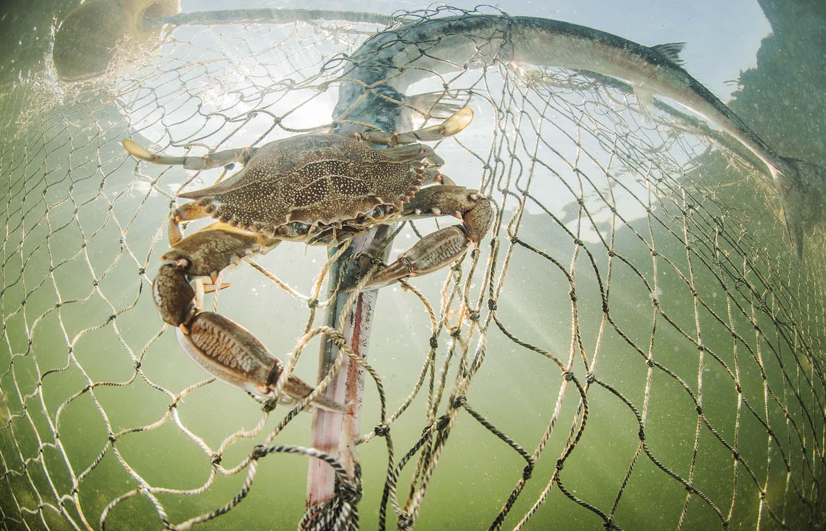 Ejemplar adulto enmallado en una red y devorada por una jaiba.